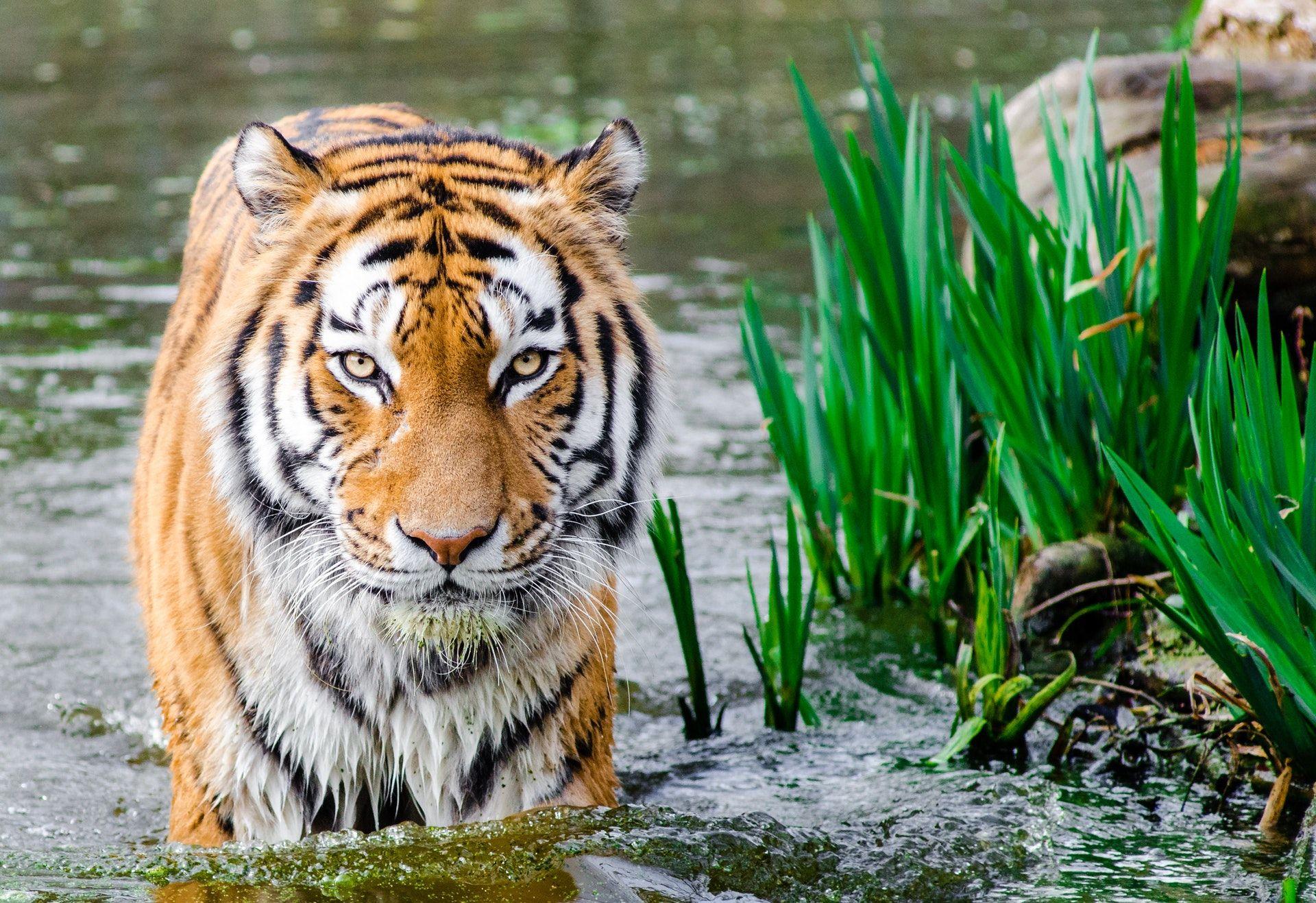 عکس زمینه ببر بنگال در آب پس زمینه