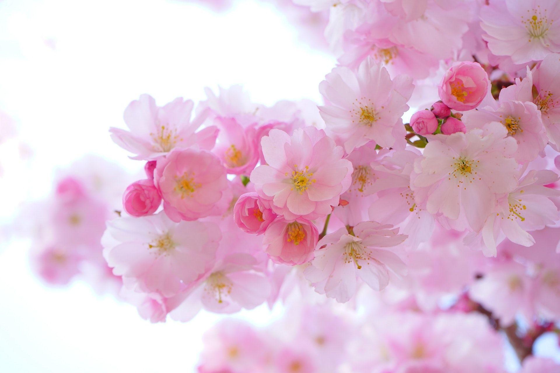 عکس زمینه گل های صورتی پس زمینه