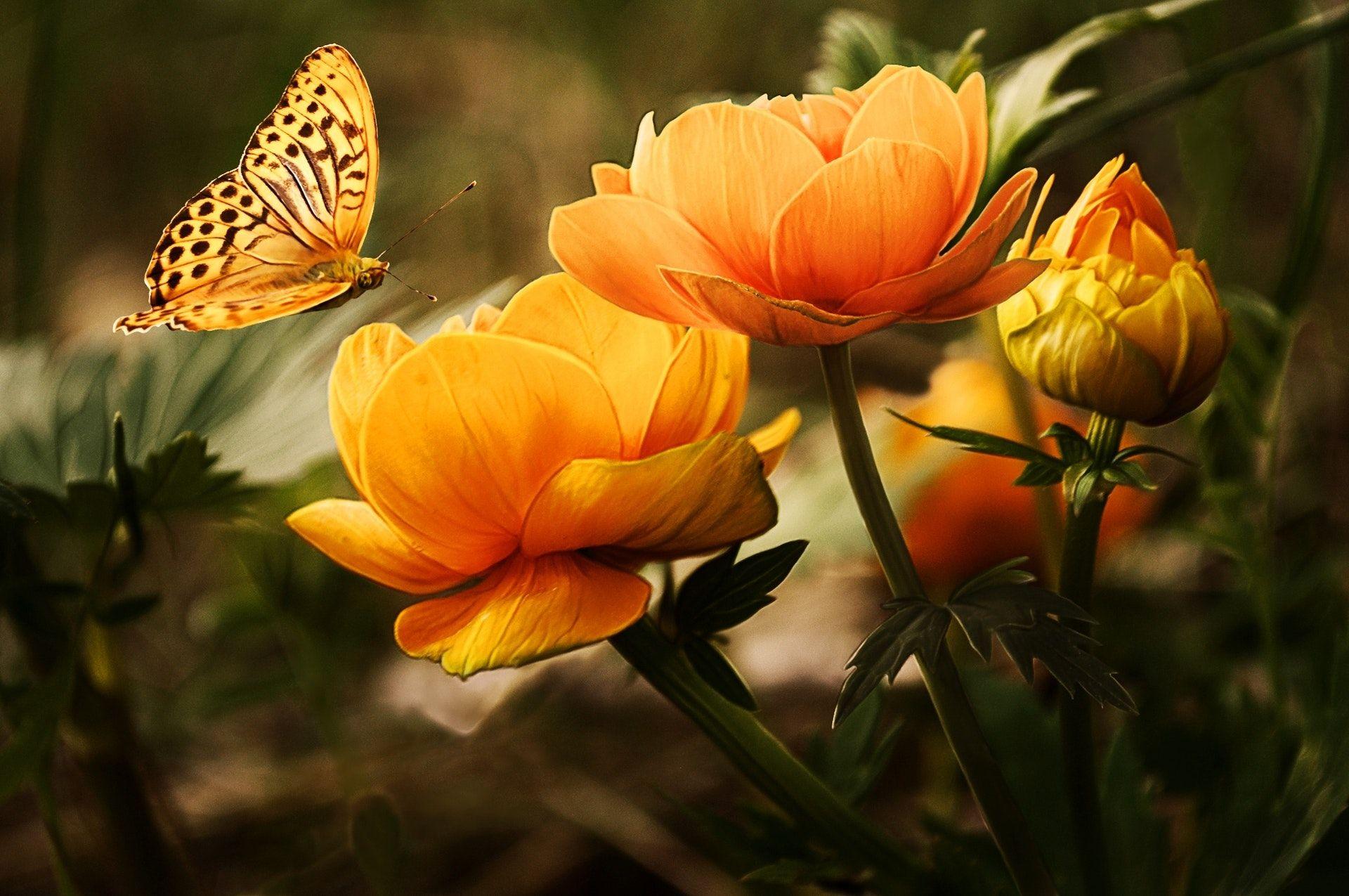 عکس زمینه گل نارنجی با پروانه زرد پس زمینه
