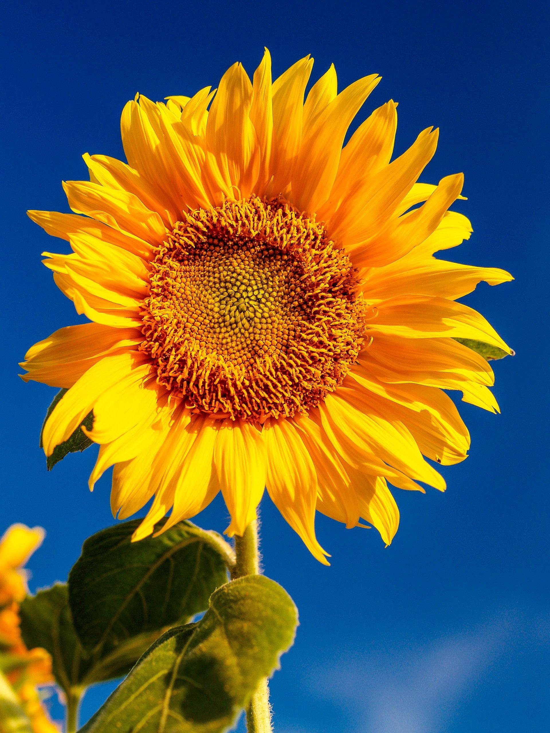 عکس زمینه گل آفتابگردان پس زمینه