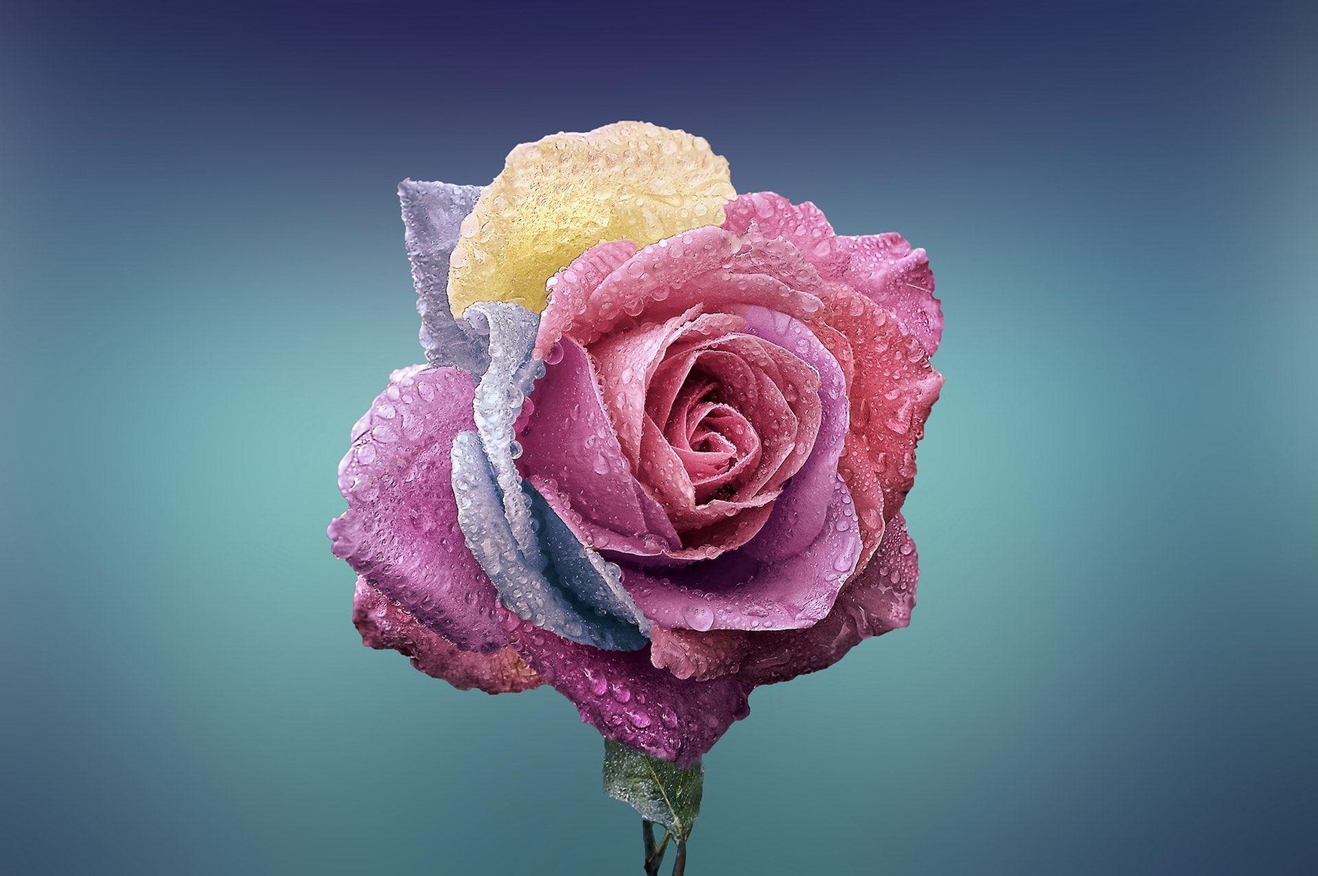عکس زمینه هنری از گل رز صورتی با شبنم پس زمینه