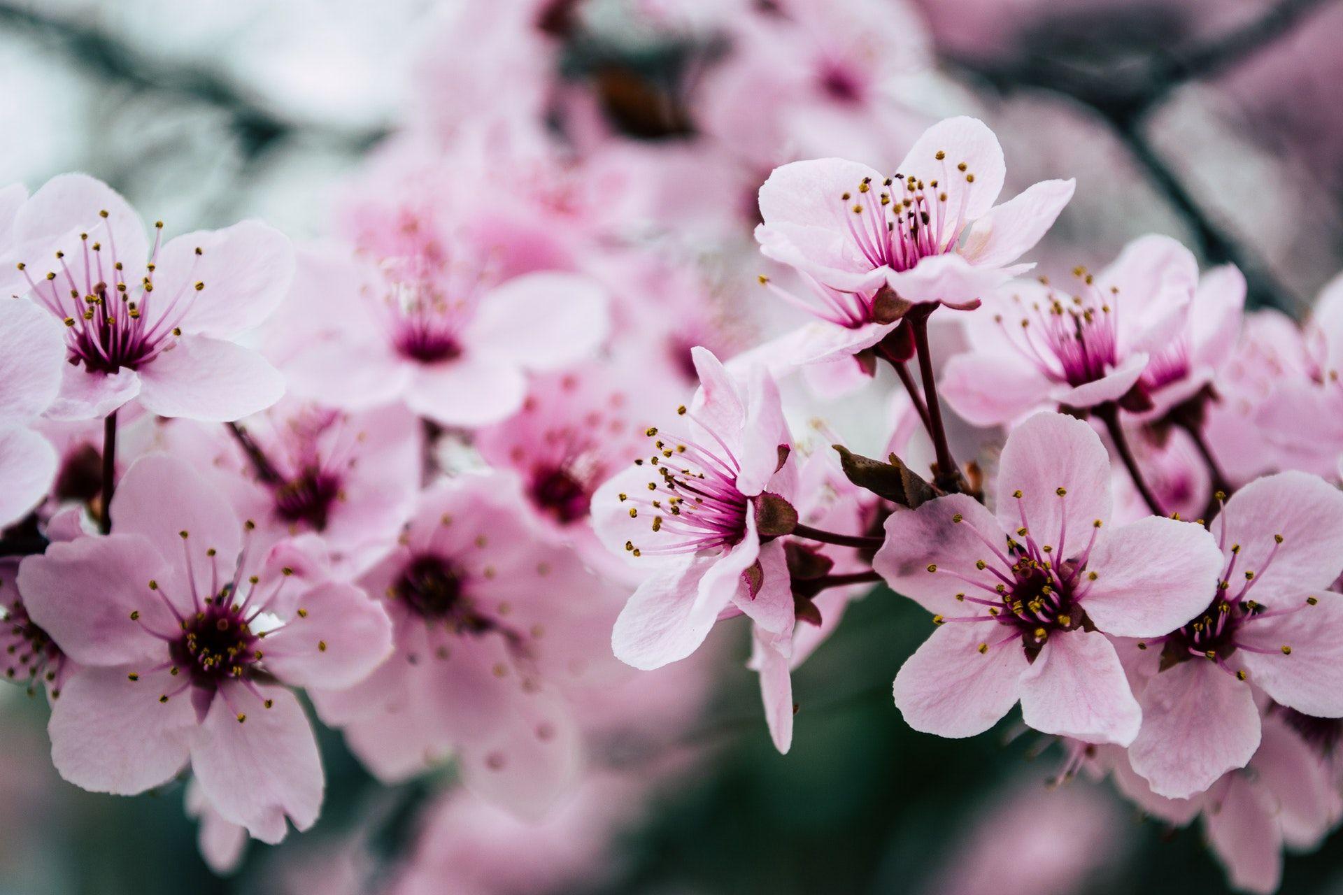 عکس زمینه شکوفه های صورتی بهاری پس زمینه