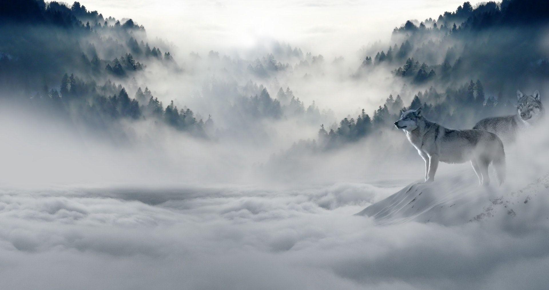 عکس زمینه گرگ در برف و کولاک پس زمینه