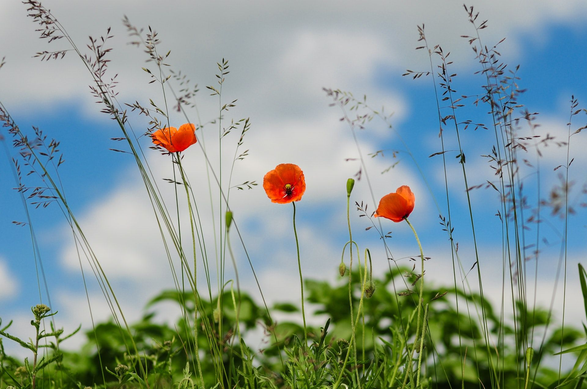 عکس زمینه گل شقایق پس زمینه