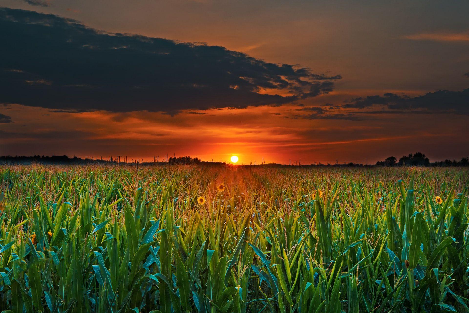 عکس زمینه مزرعه و غروب خورشید پس زمینه