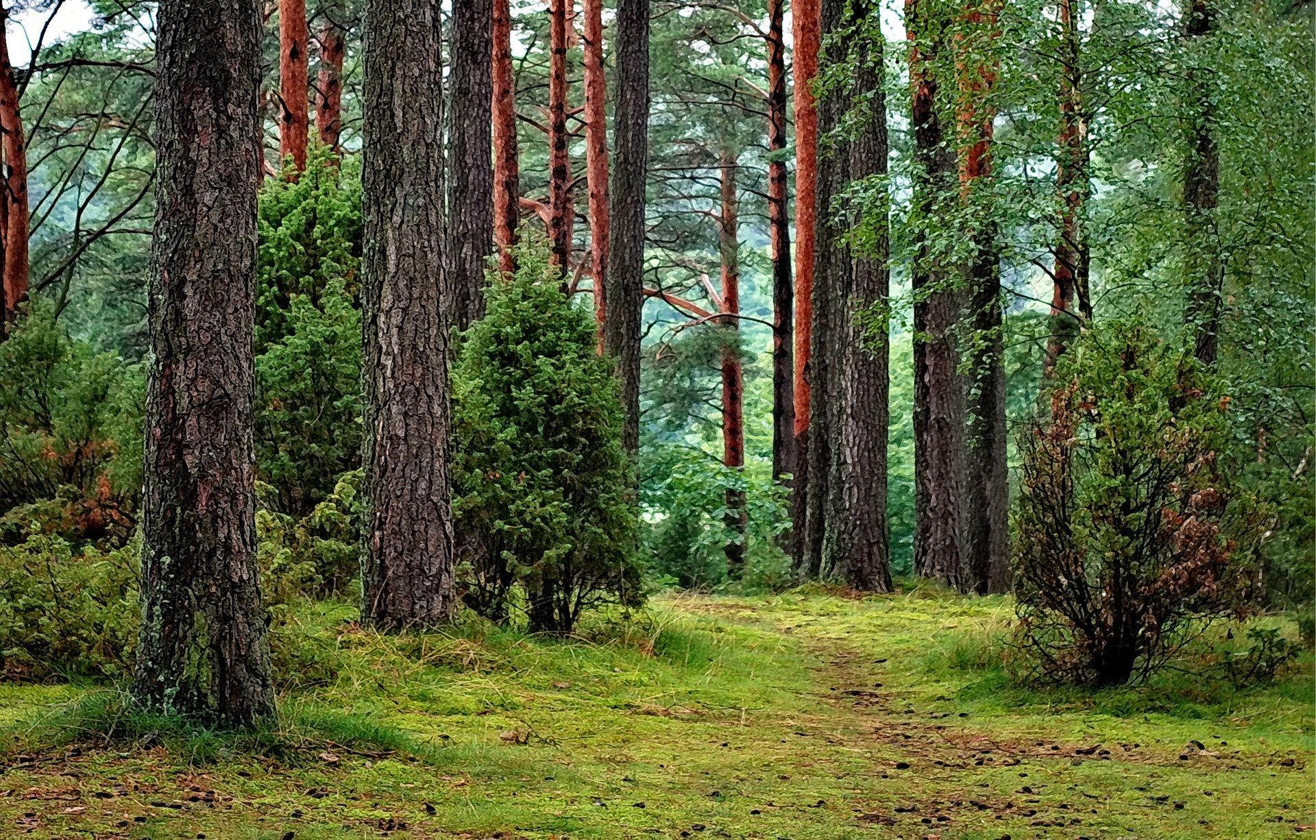 عکس زمینه درختان بلند و سبز در جنگل پس زمینه