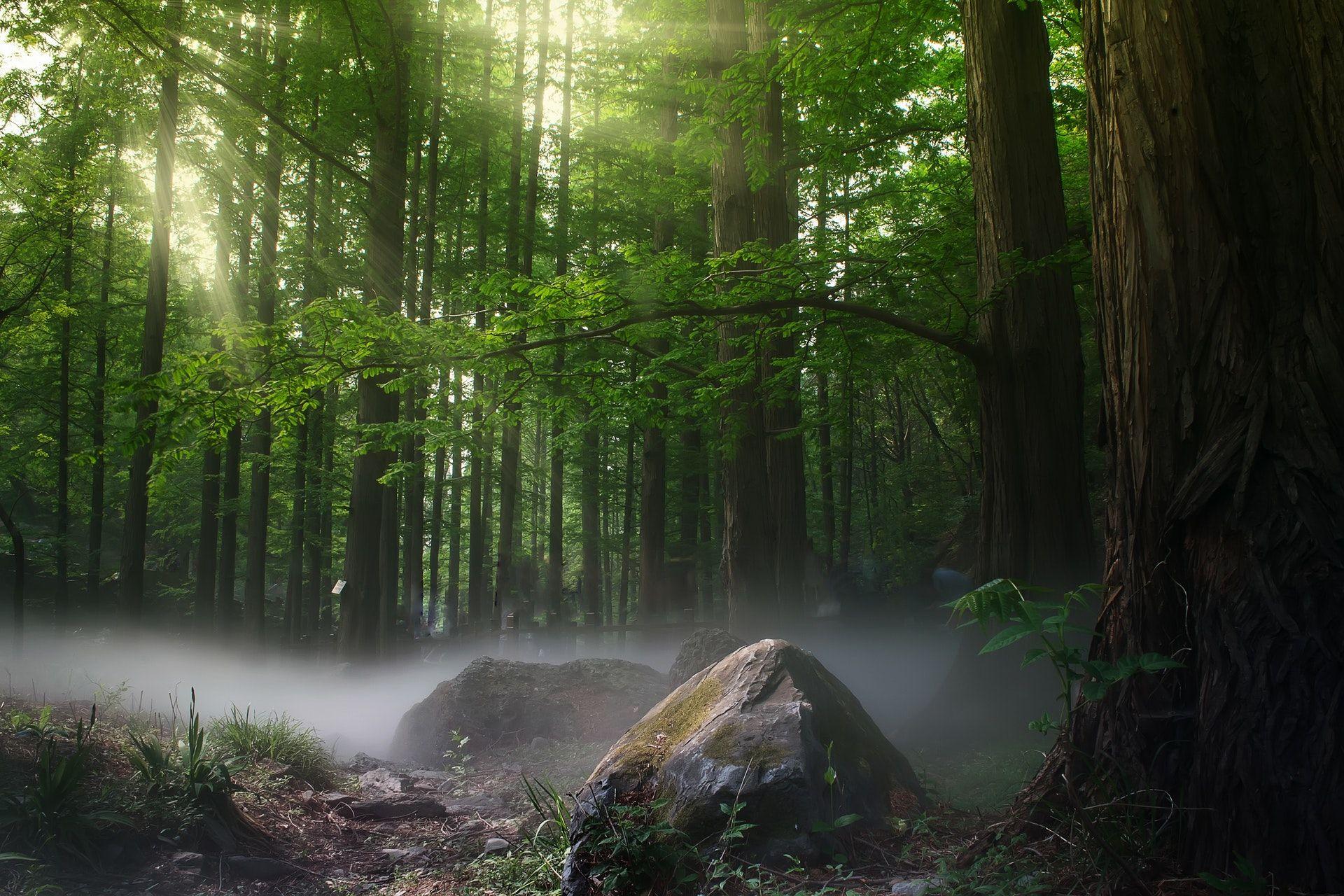 عکس زمینه درختان در مه جنگل پس زمینه