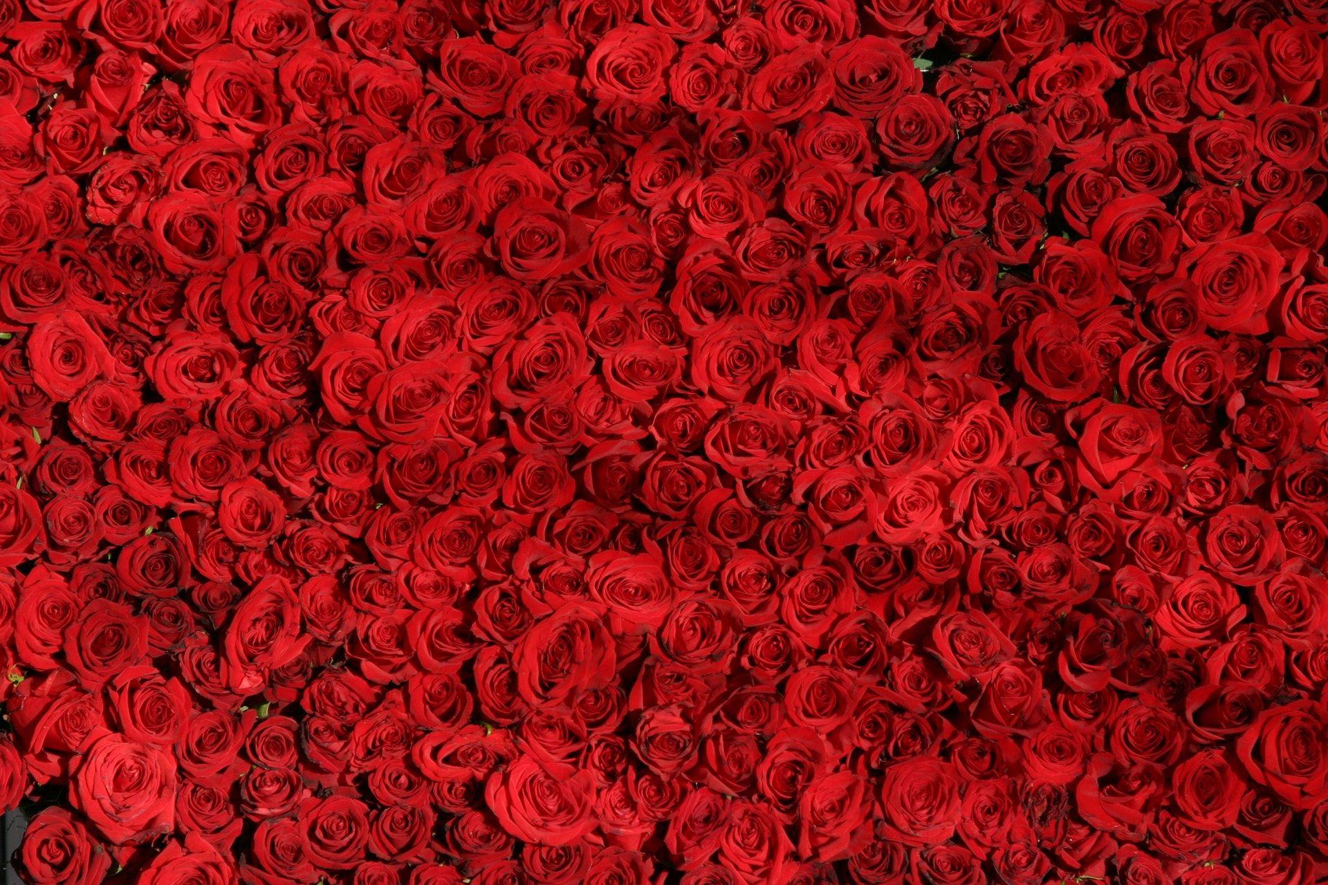 عکس زمینه گل رز قرمز پس زمینه