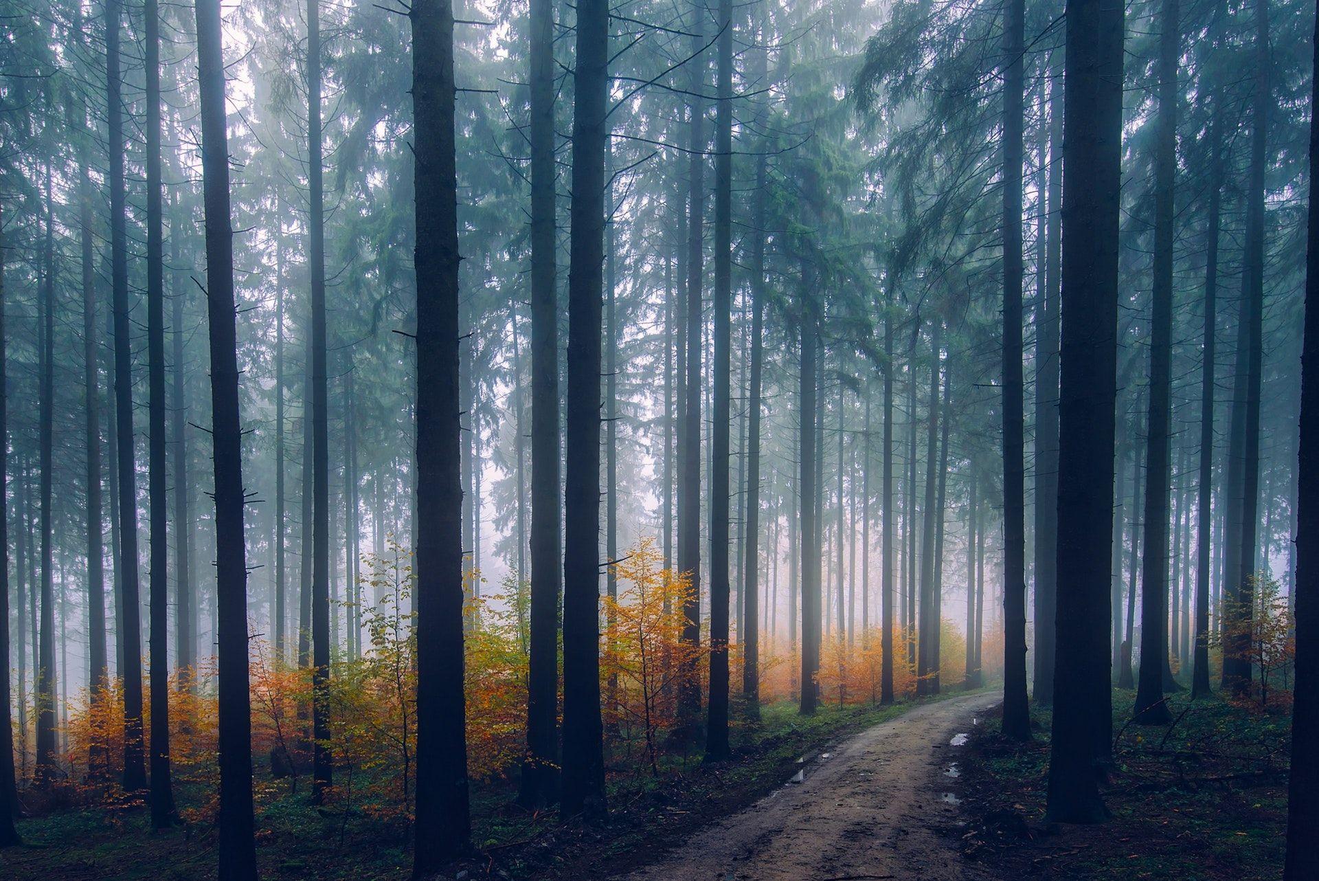 عکس زمینه درختان جنگل در غروب مه آلود و زیبا پس زمینه