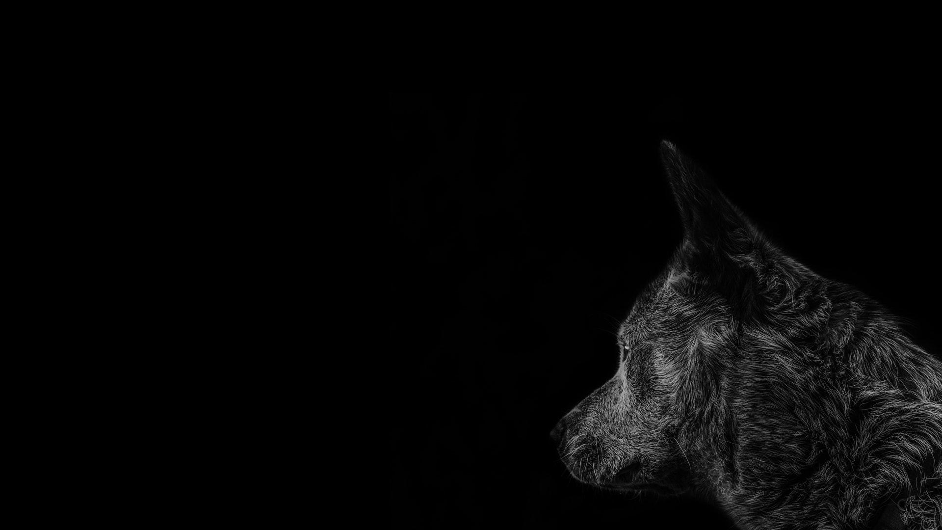 عکس زمینه گرگ خاکستری مشکی تیره پس زمینه
