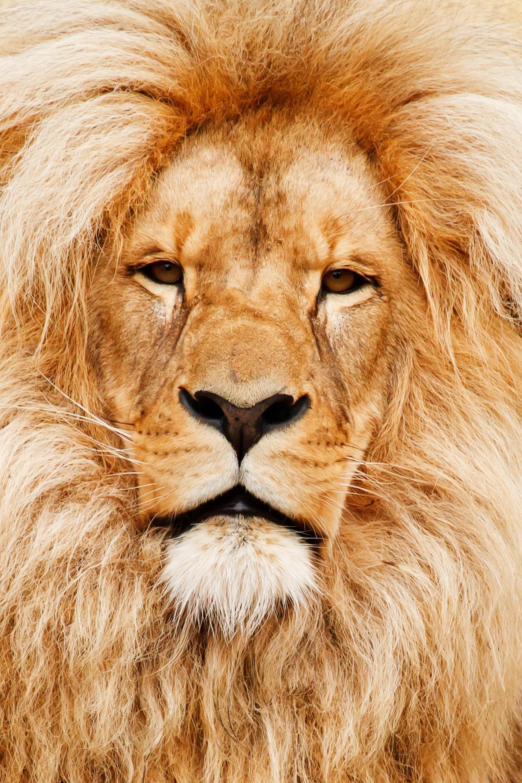 عکس زمینه کلوزآپ از شیر جنگل پس زمینه