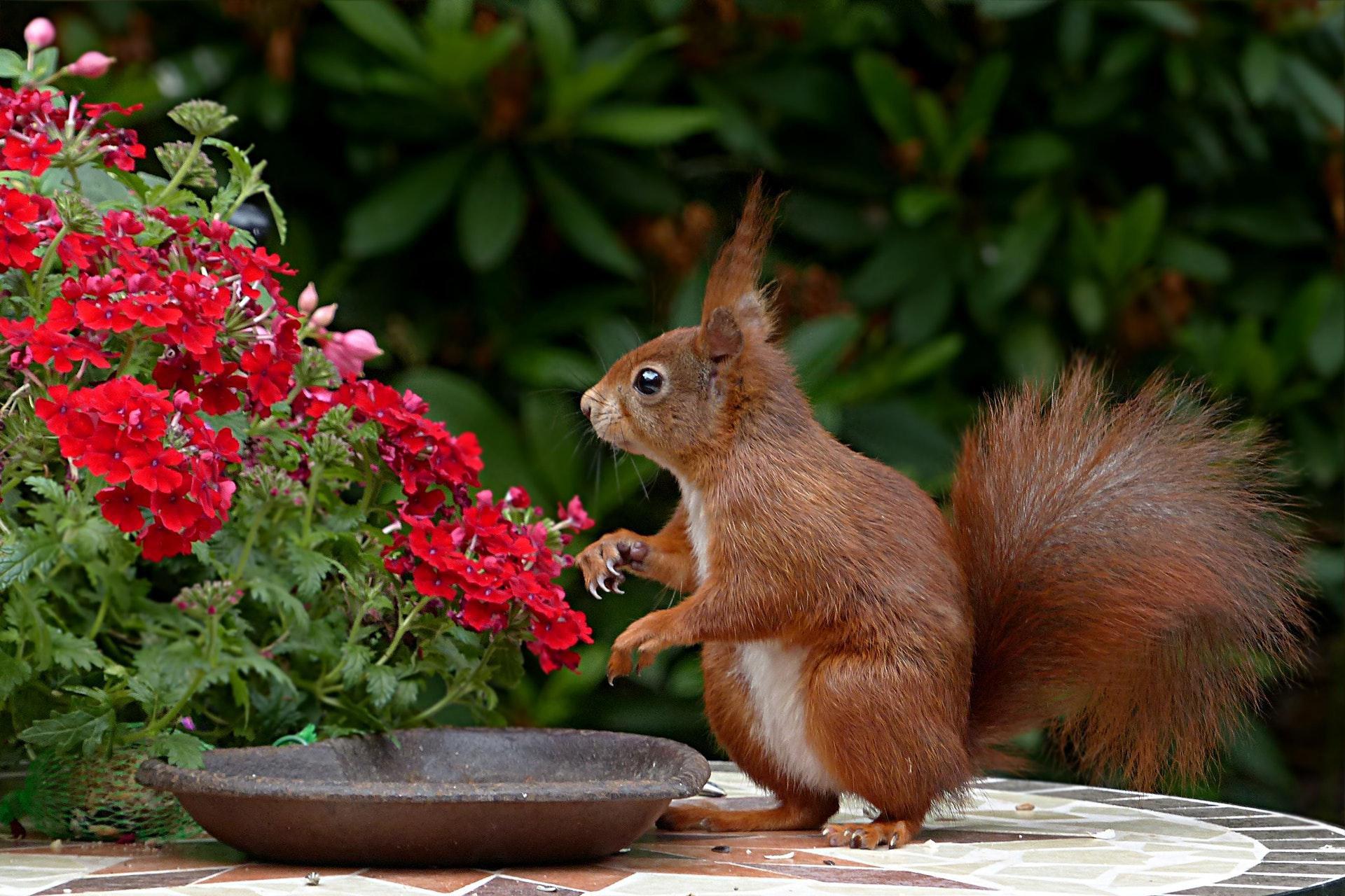 عکس زمینه سنجاب قهوه ای در کنار گل سرخ پس زمینه