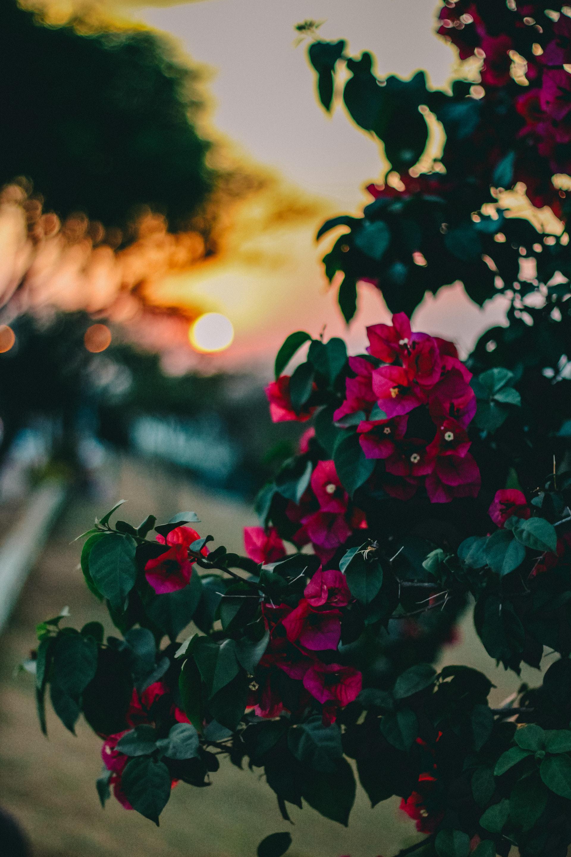 عکس زمینه گل های گل رز صورتی از نمای نزدیک پس زمینه