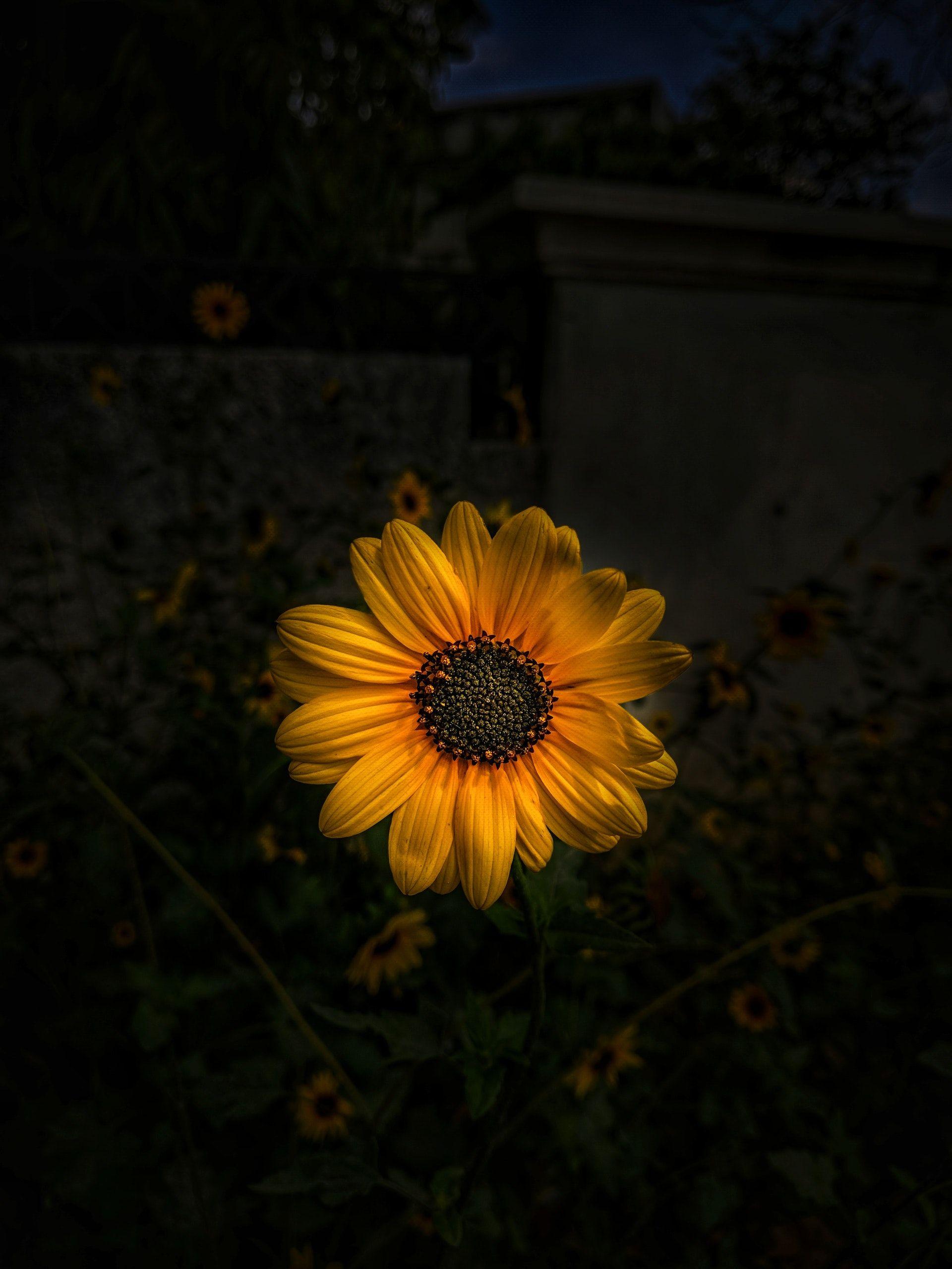 عکس زمینه آفتابگردان زرد پس زمینه