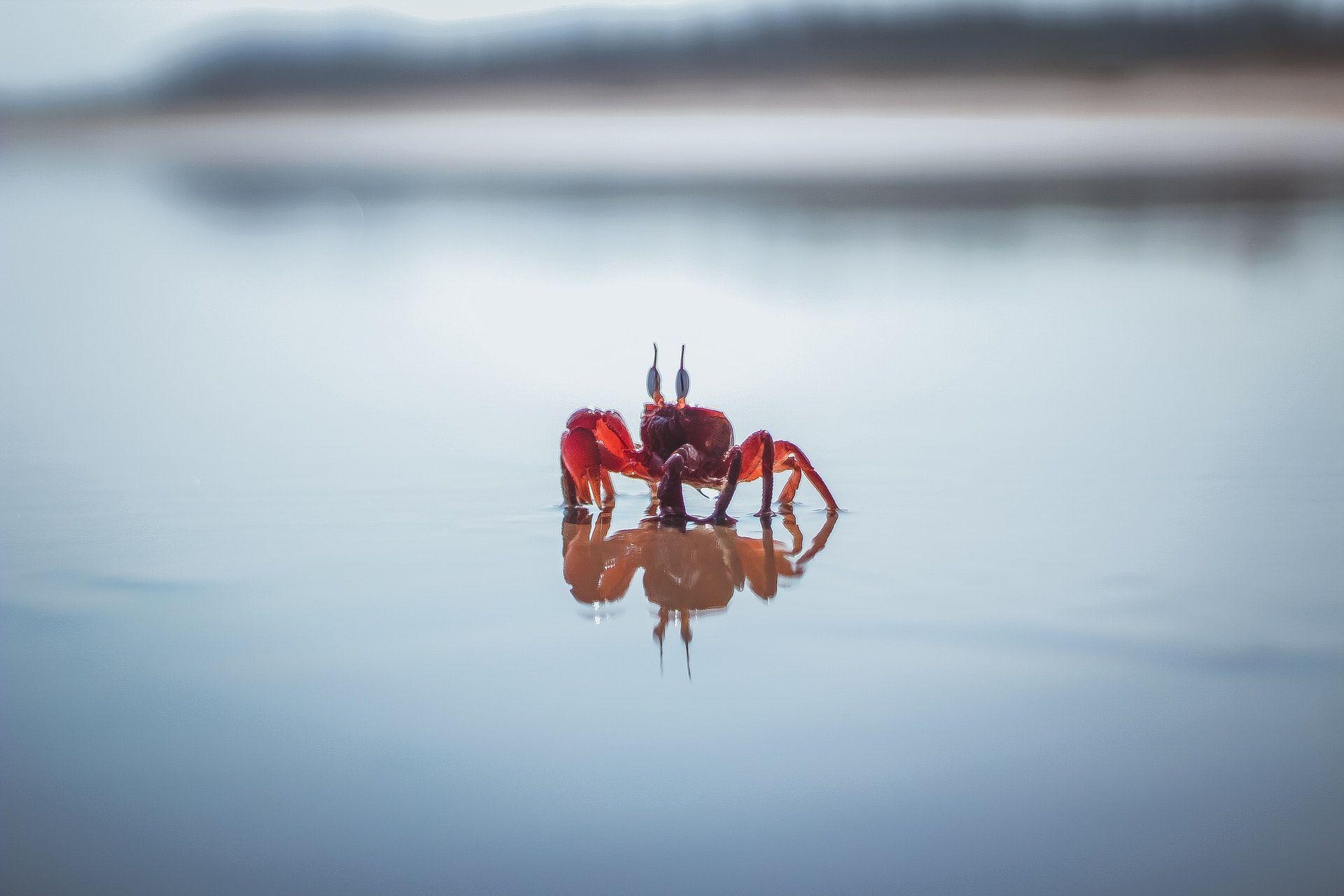 عکس زمینه خرچنگ قرمز در آب پس زمینه