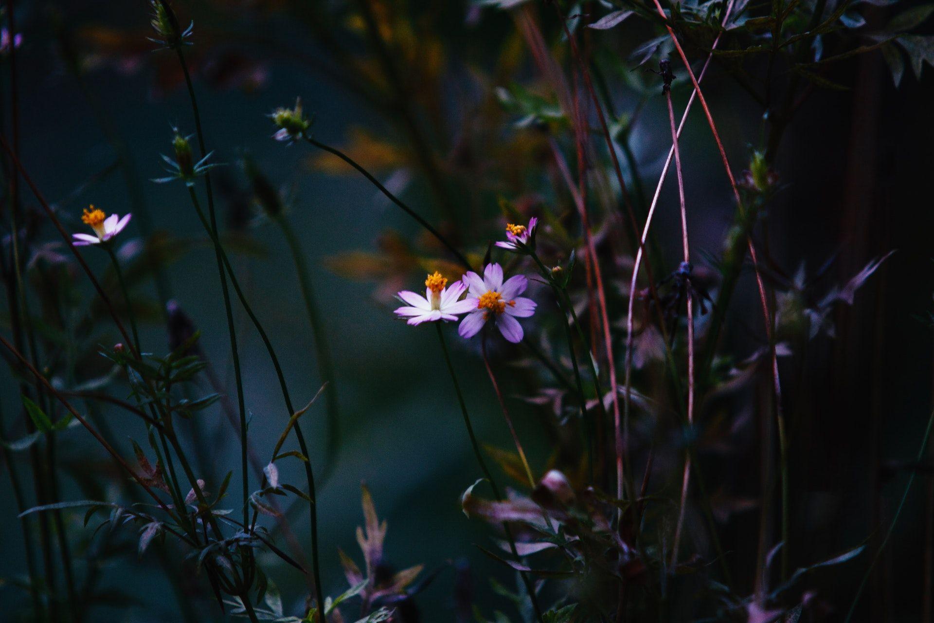 عکس زمینه گلبرگ گل سفید و بنفش پس زمینه