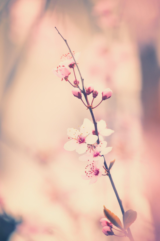 عکس زمینه شکوفه گیلاس پس زمینه