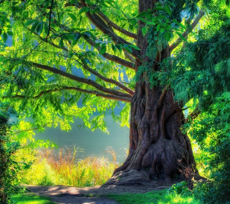 عکس زمینه درخت تنومند در طبیعت سبز پس زمینه