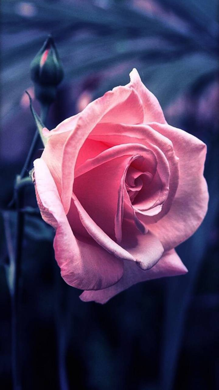 عکس زمینه گل رز صورتی زیبا پس زمینه