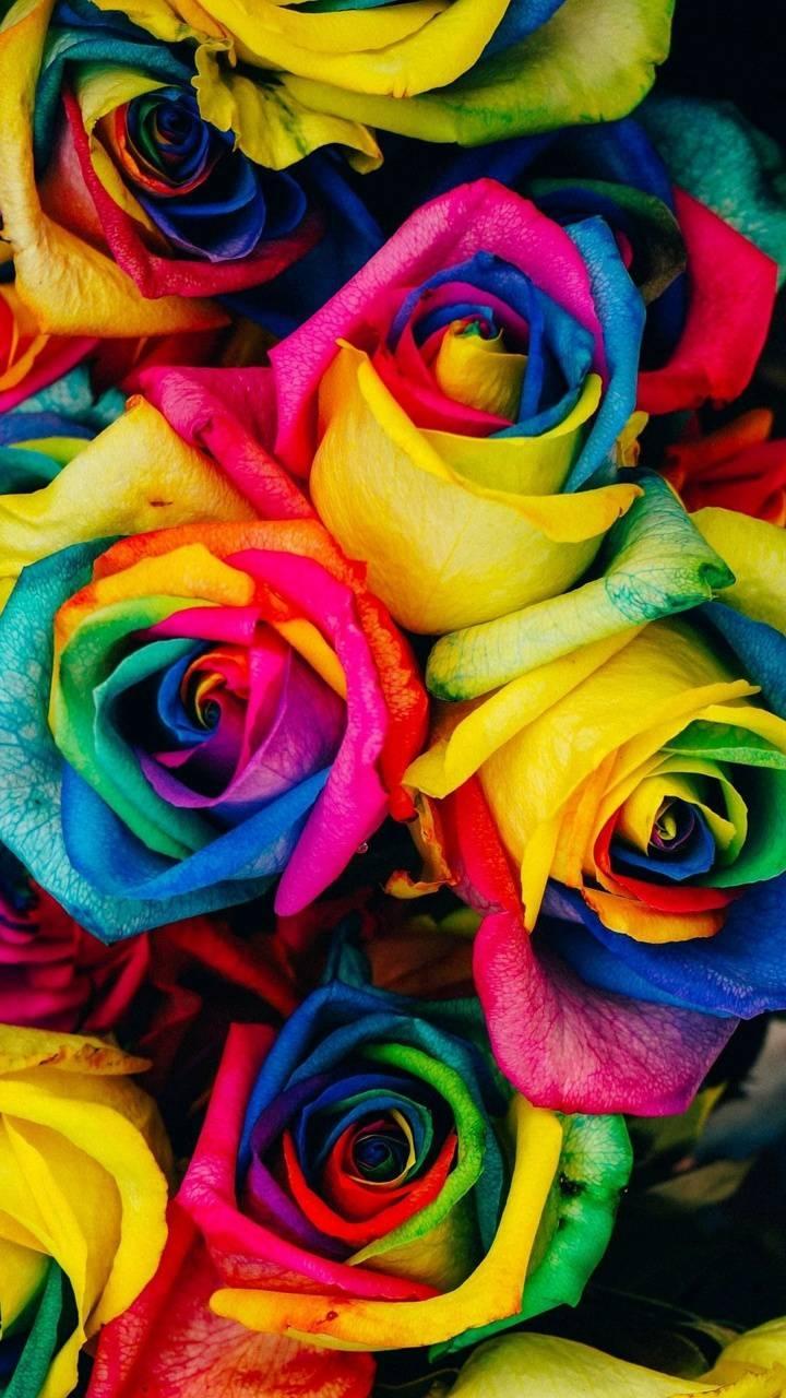 عکس زمینه گل رز رنگین کمان پس زمینه