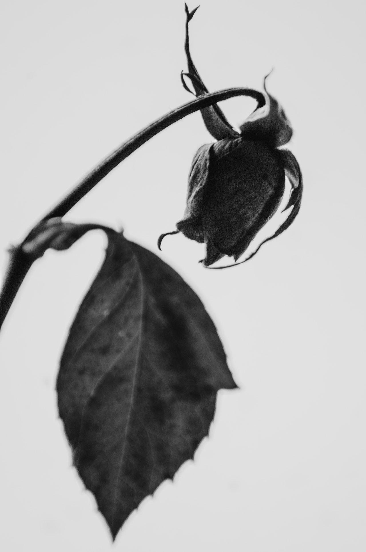 عکس زمینه گل رز مشکی پژمرده پس زمینه