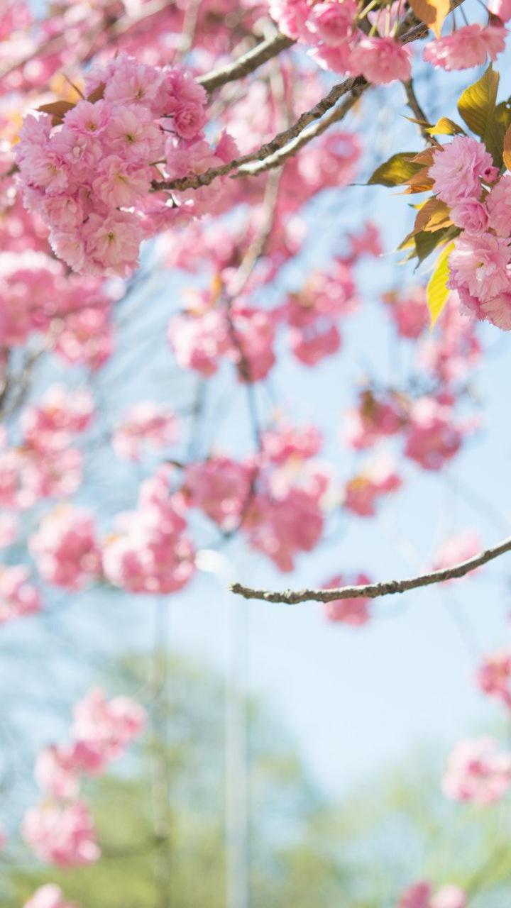 عکس زمینه شکوفه های گیلاس بهاری پس زمینه