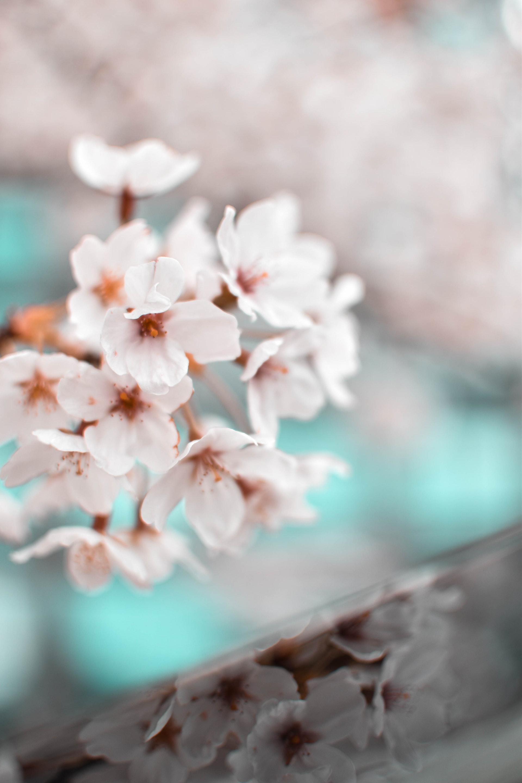 عکس زمینه شکوفه گل بهاری سفید پس زمینه