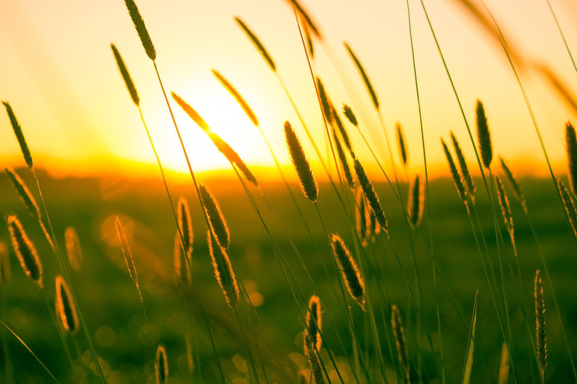 عکس زمینه گندم زار در هنگام غروب آفتاب پس زمینه