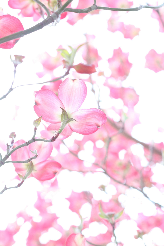 عکس زمینه شکوفه های گیلاس زیبا پس زمینه