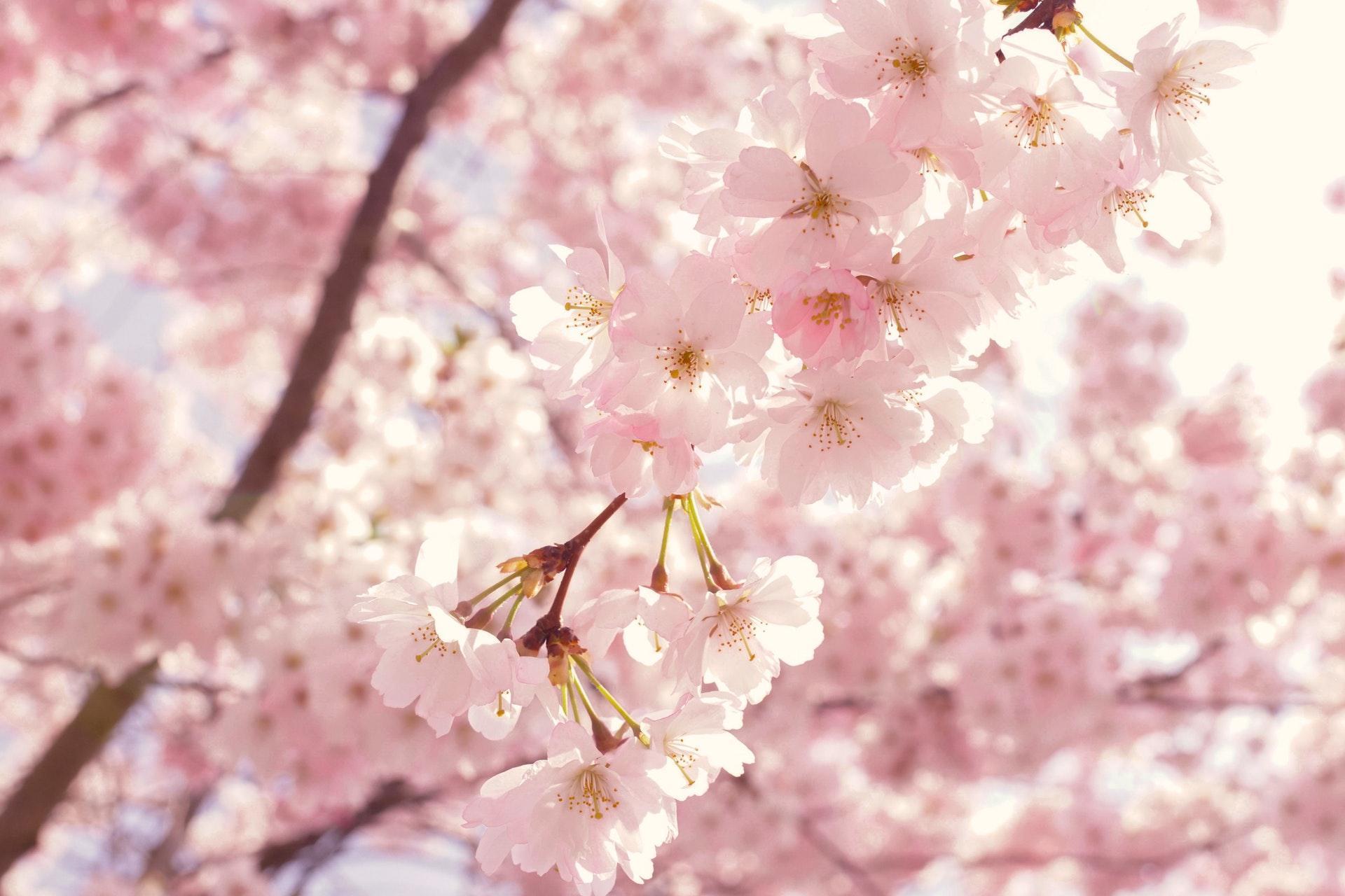 عکس زمینه گل های شکوفه صورتی گیلاس در بهار پس زمینه