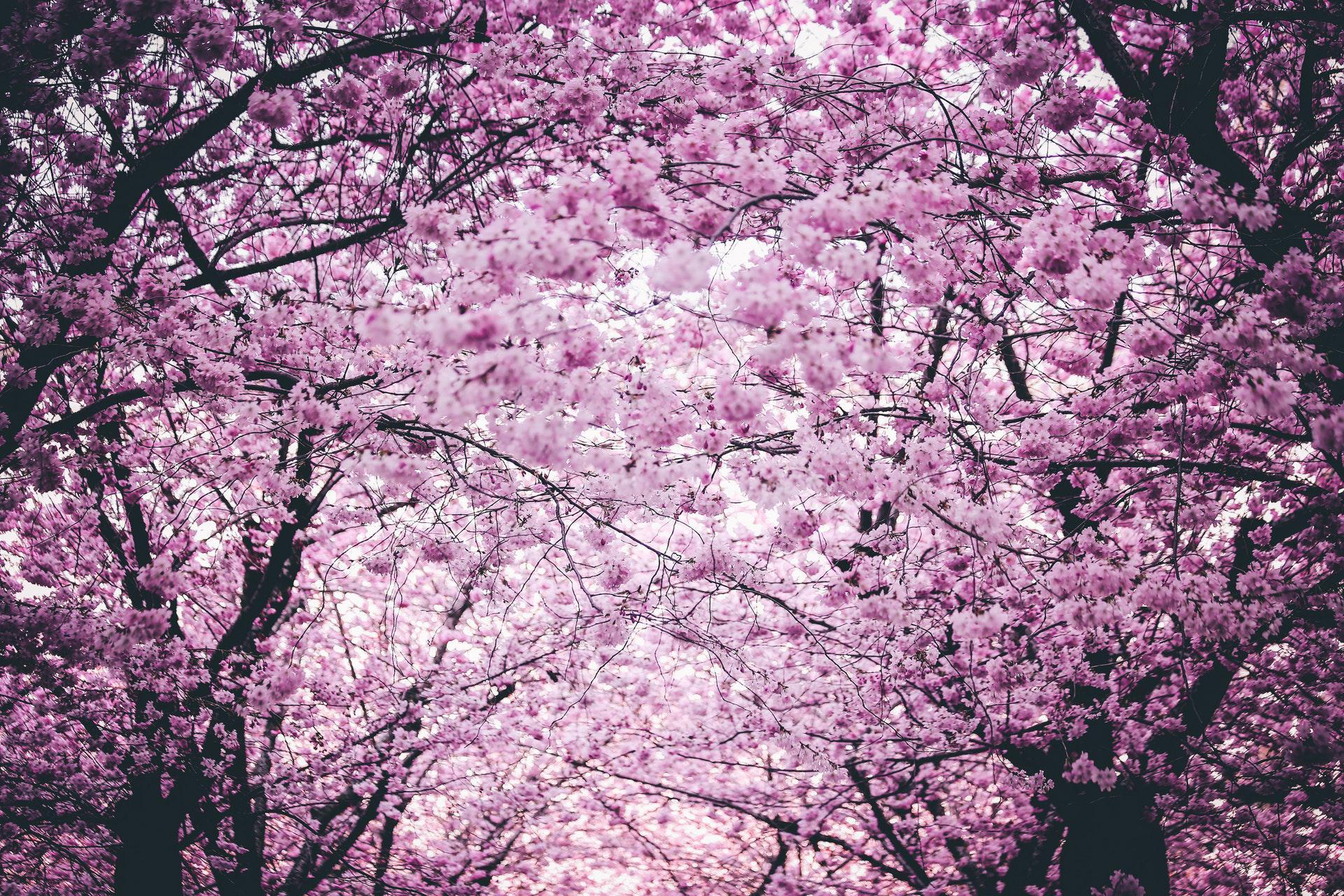عکس زمینه گلهای صورتی روی درختان در بهار پس زمینه
