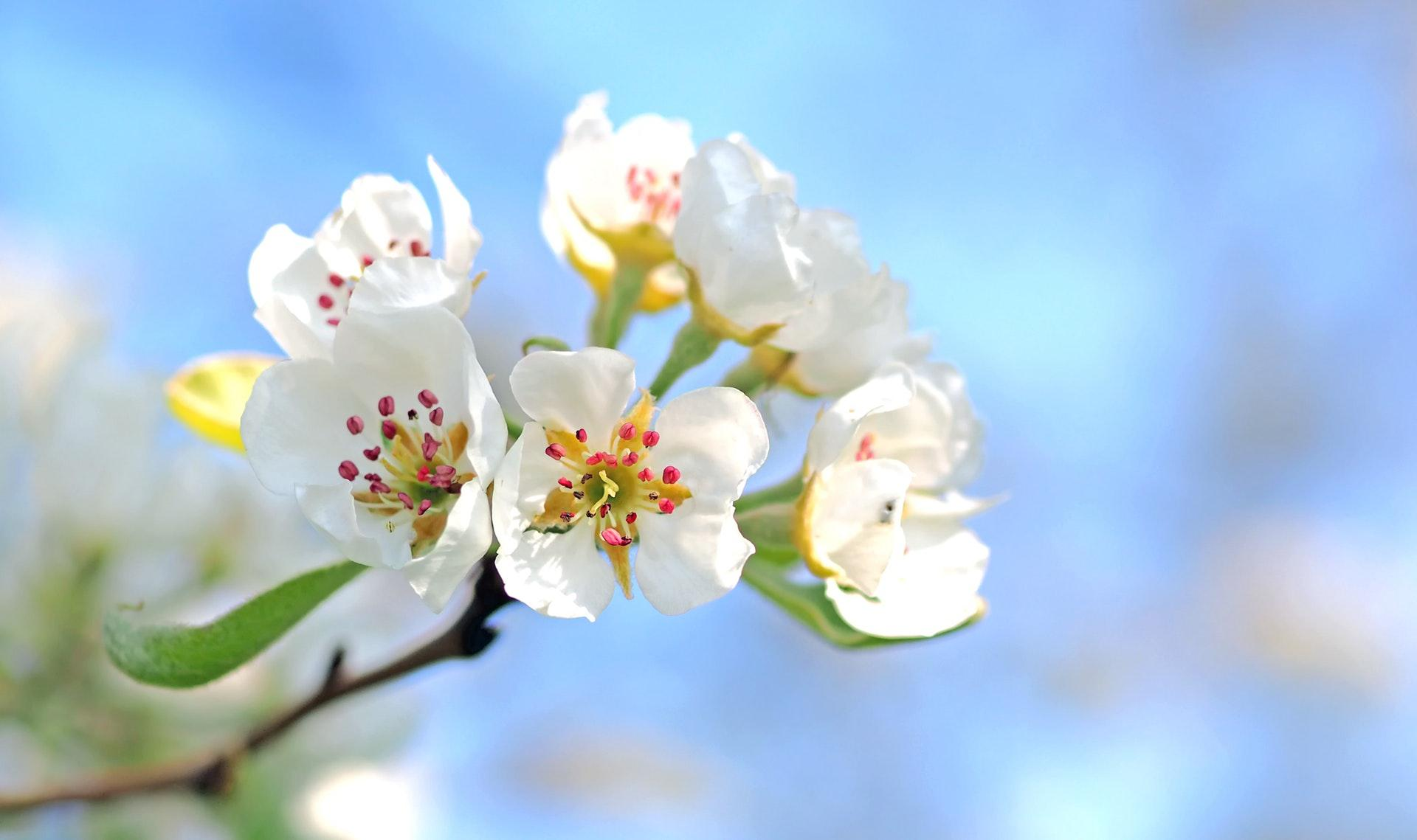 عکس زمینه شکوفه های سفید بهاری پس زمینه