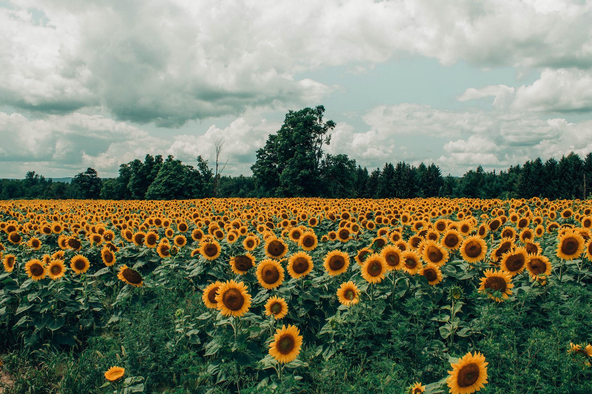 عکس زمینه مزرعه آفتابگردان پس زمینه