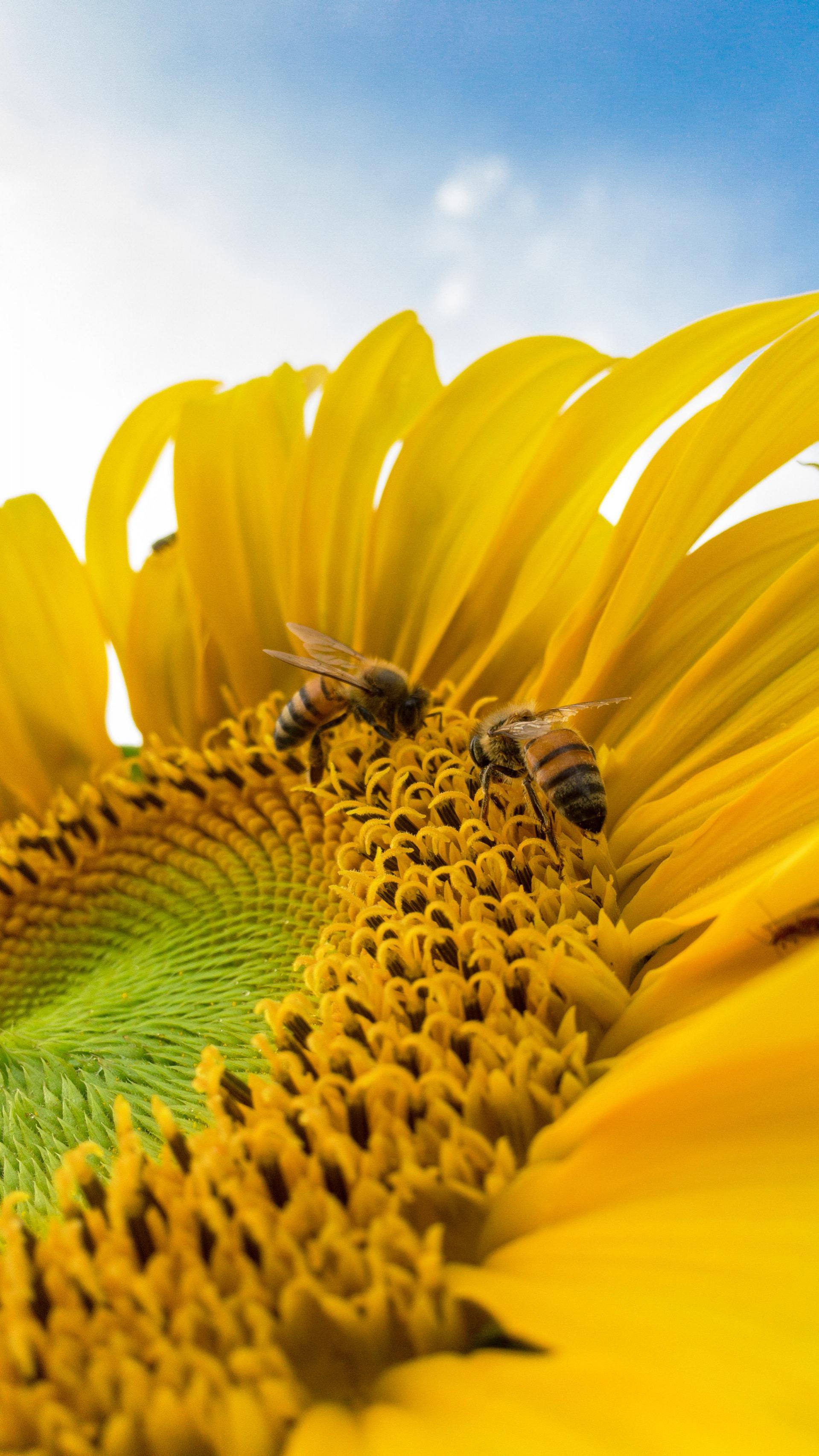 عکس زمینه زنبور عسل روی آفتابگردان زرد پس زمینه