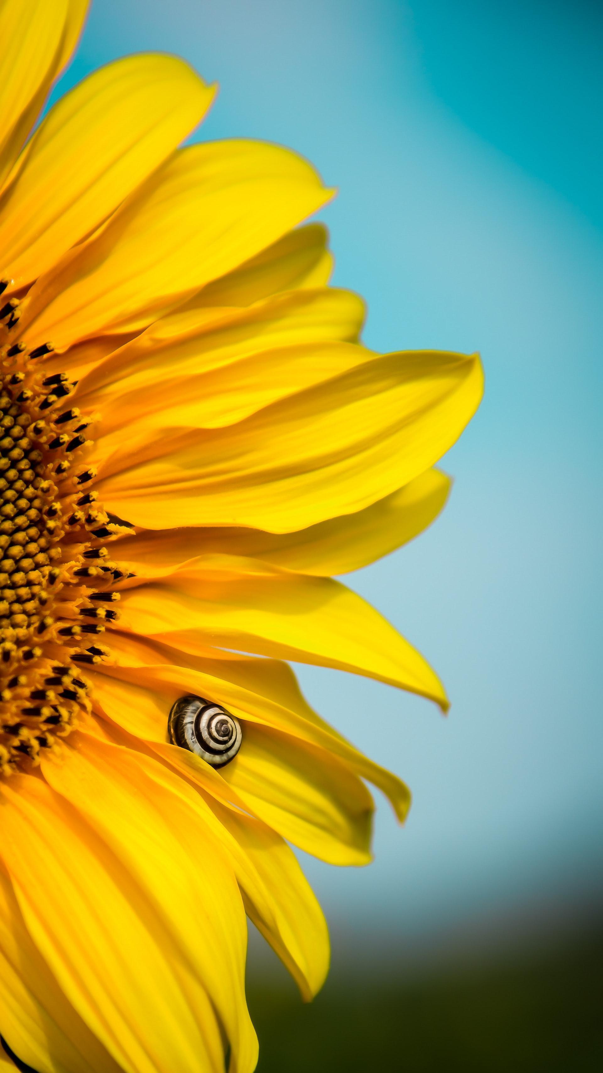 عکس زمینه گل آفتابگردان زرد پس زمینه