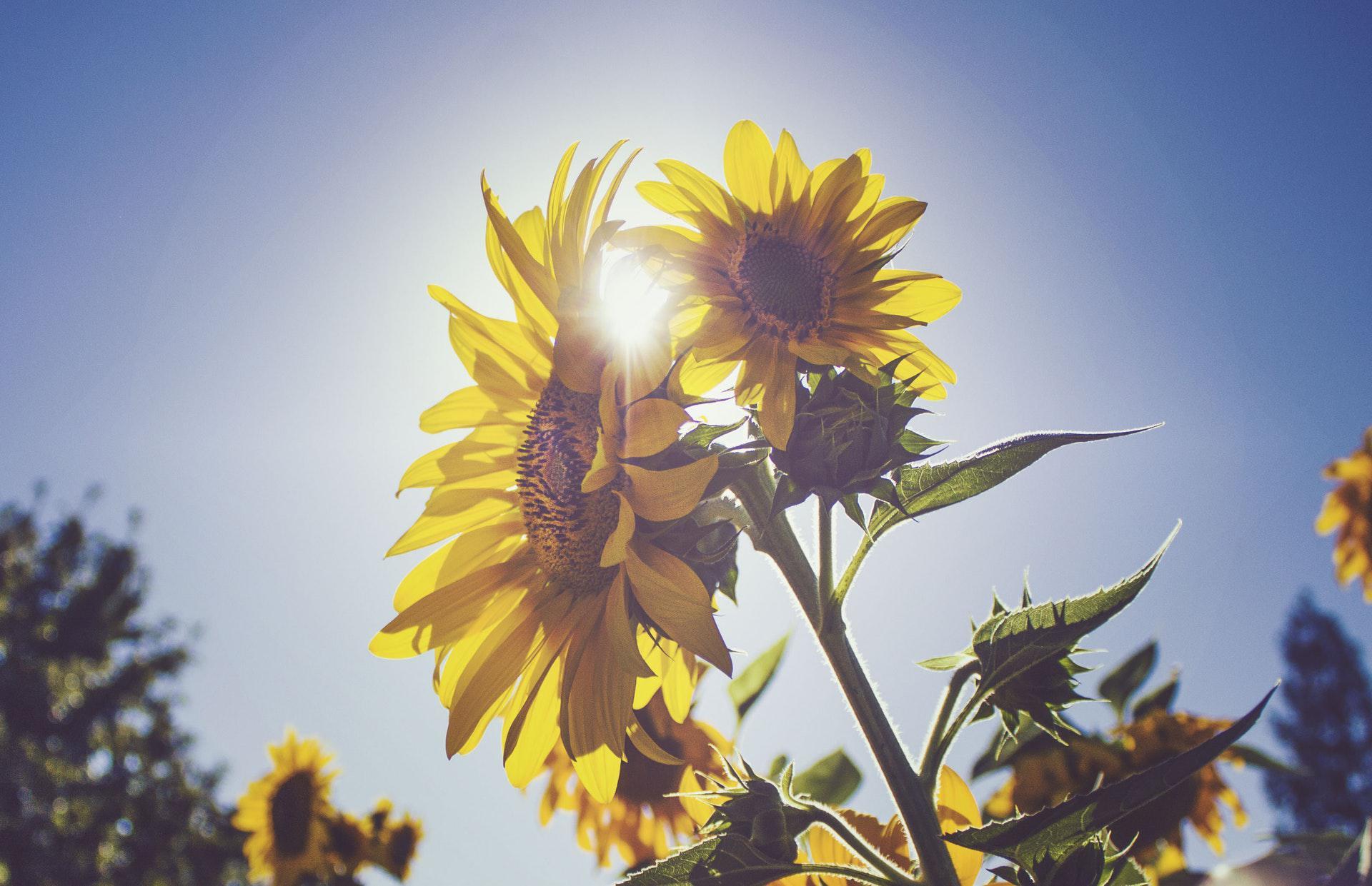 عکس زمینه گل آفتابگردان زیر آسمان آبی پس زمینه