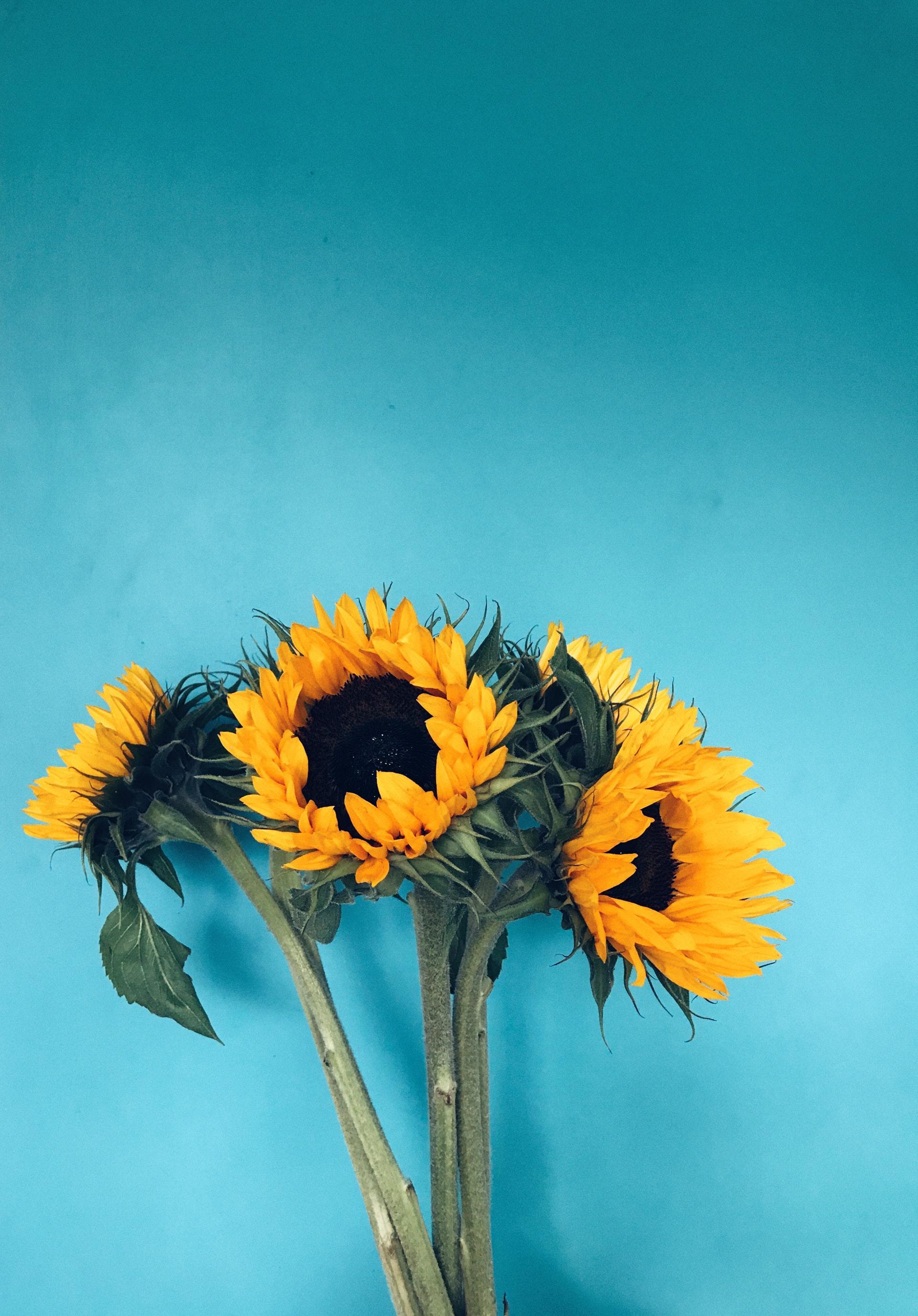 عکس زمینه چهار گل آفتابگردان با زمینه آبی پس زمینه