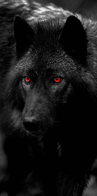 عکس زمینه گرگ چشم قرمز سیاه وحشی پس زمینه