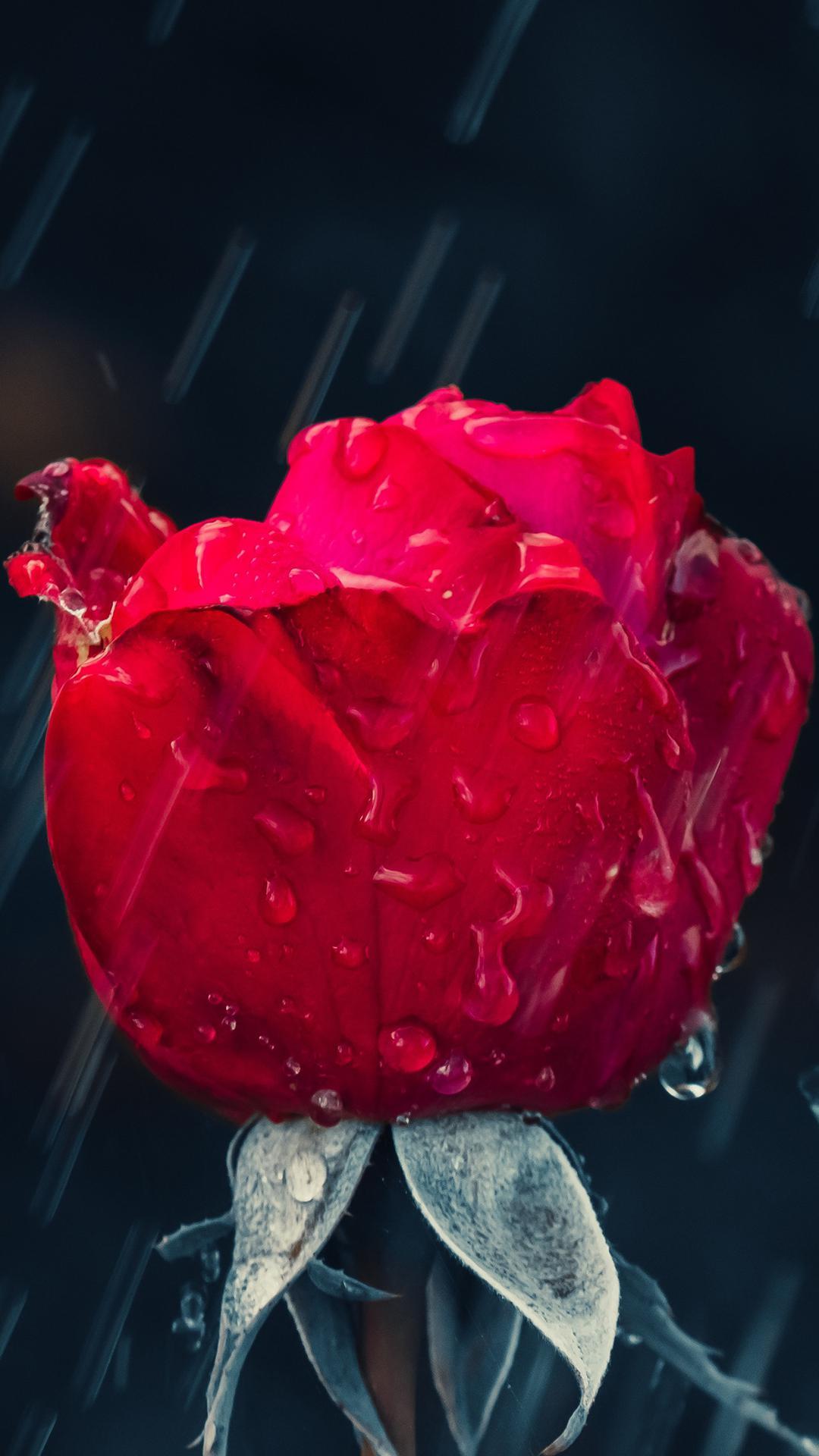 عکس زمینه رز قرمز بارون زده زیبا رمانتیک پس زمینه