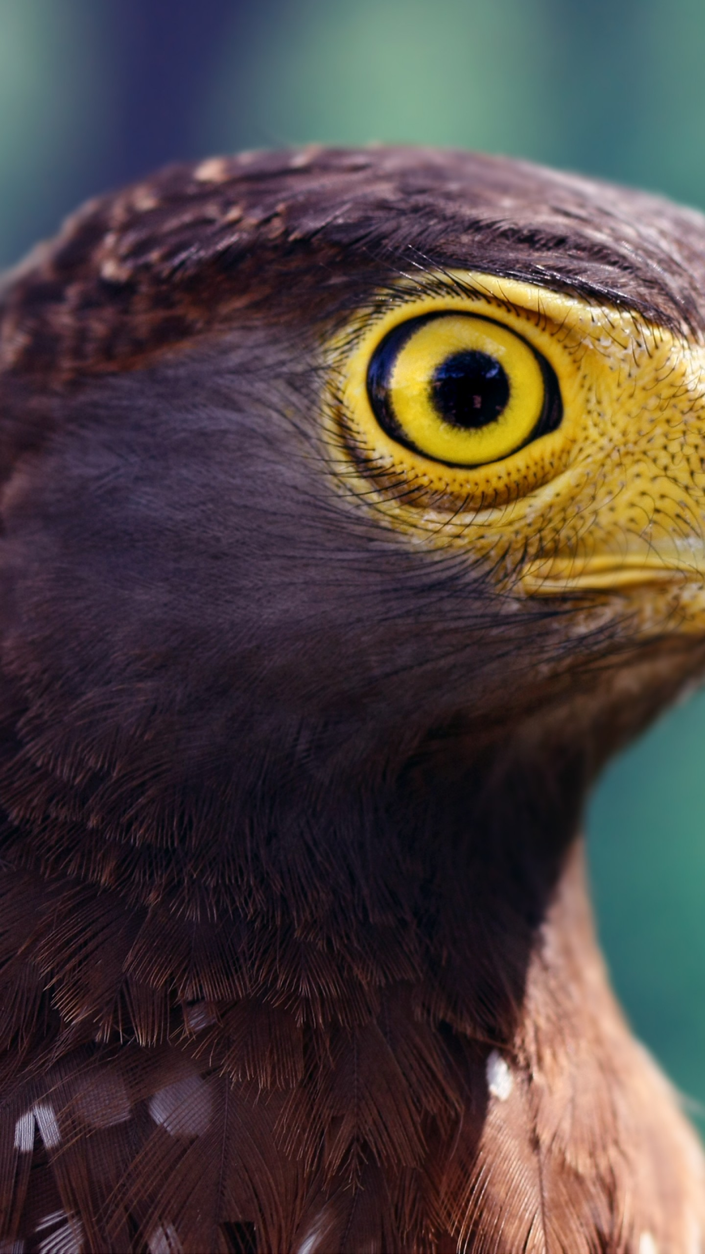 عکس زمینه چشمان زرد رنگ عقاب پس زمینه