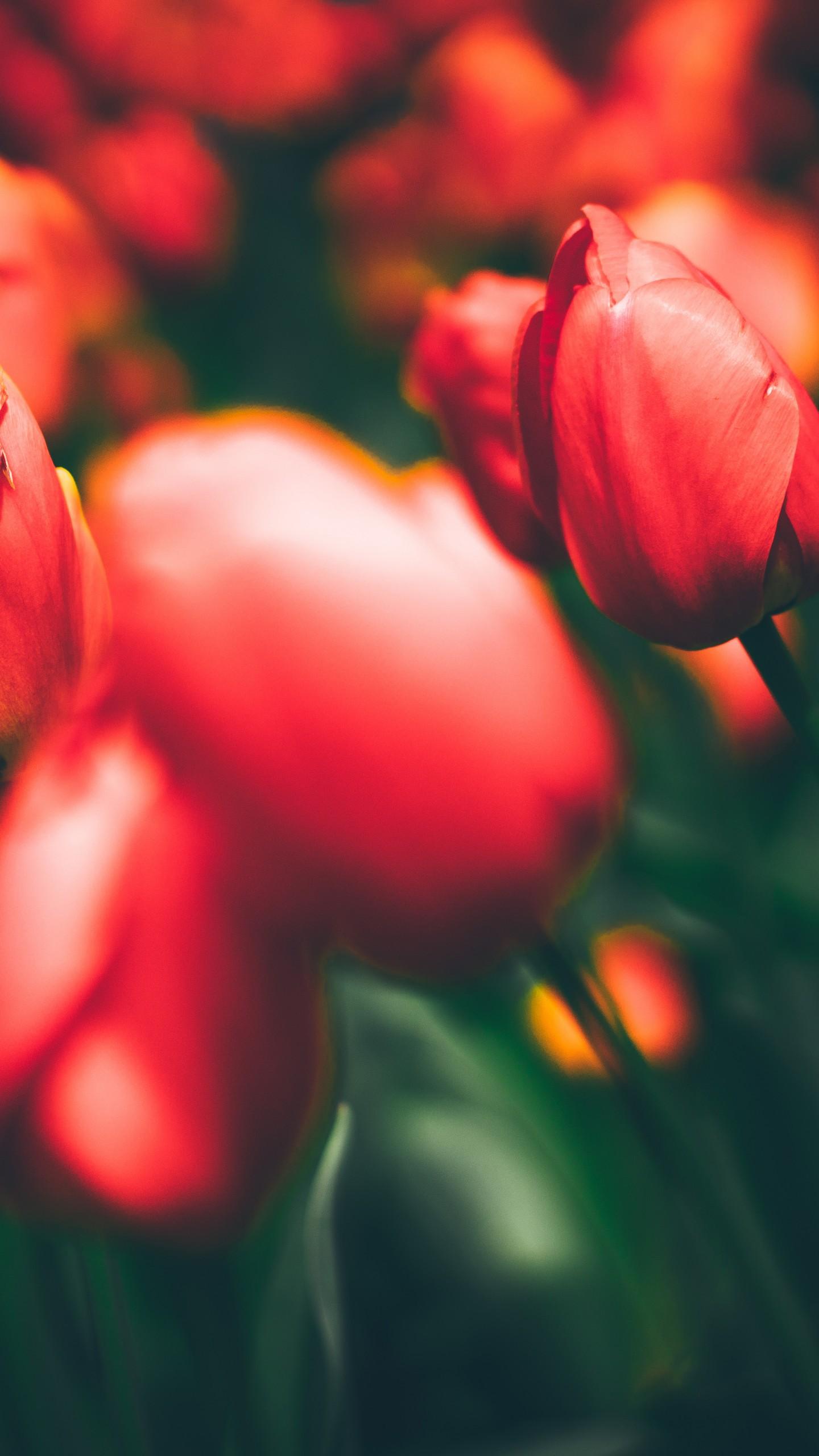 عکس زمینه گل های لاله نارنجی رنگ پس زمینه
