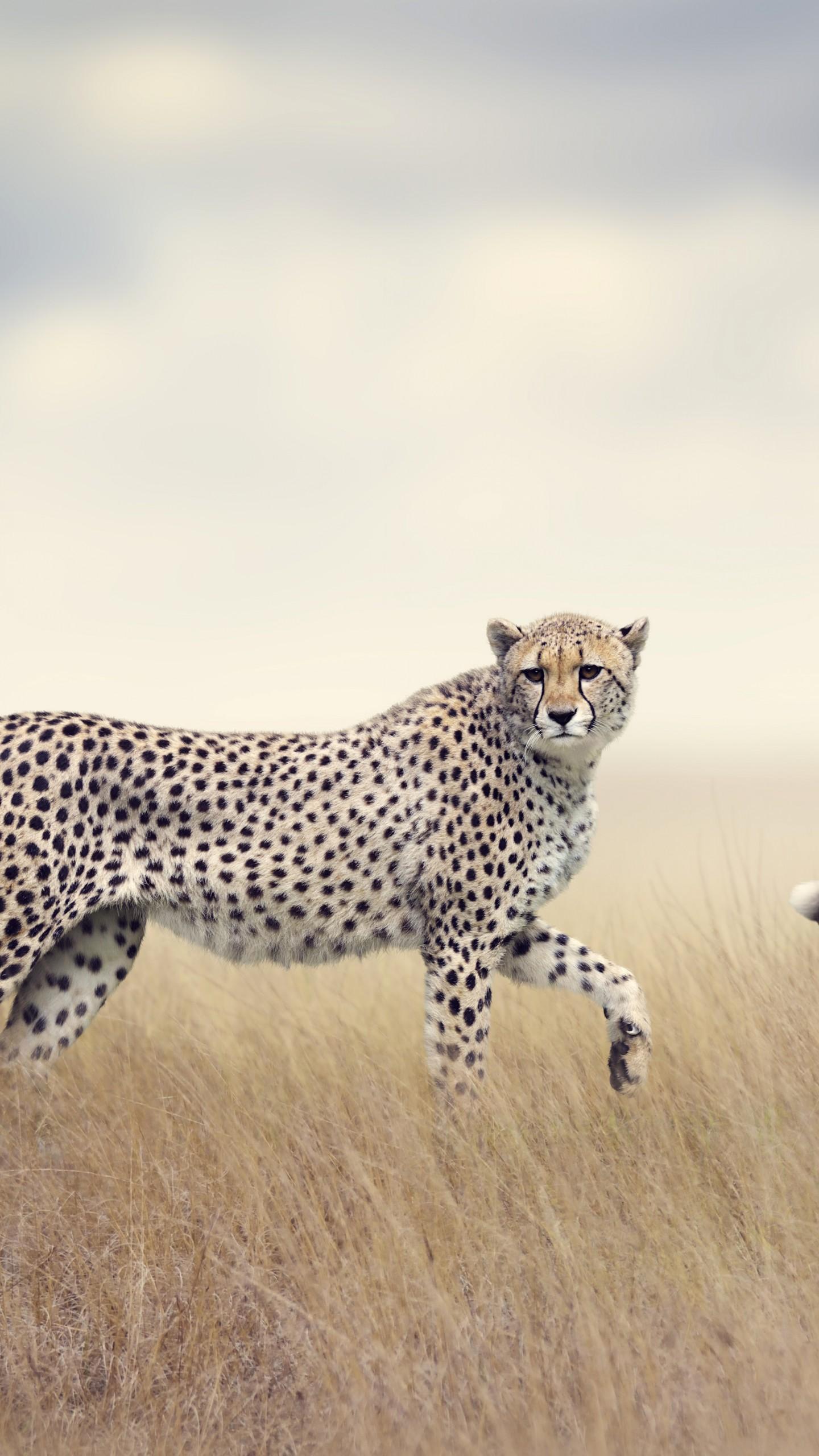 عکس زمینه یوزپلنگ وحشی در حال راه رفتن پس زمینه