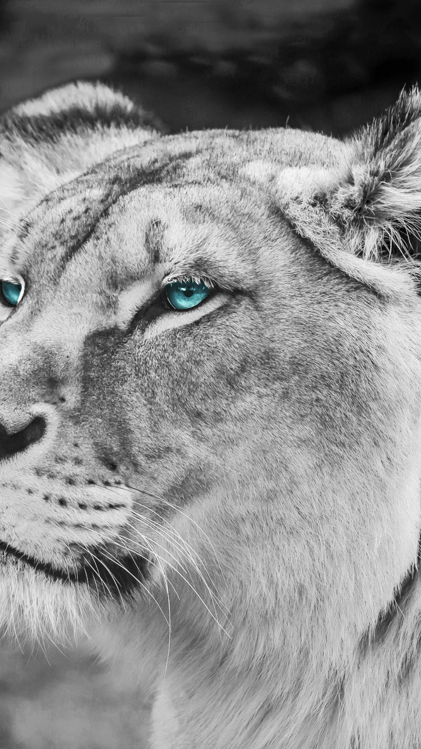 عکس زمینه صورت شیر نر با چشمان آبی پس زمینه