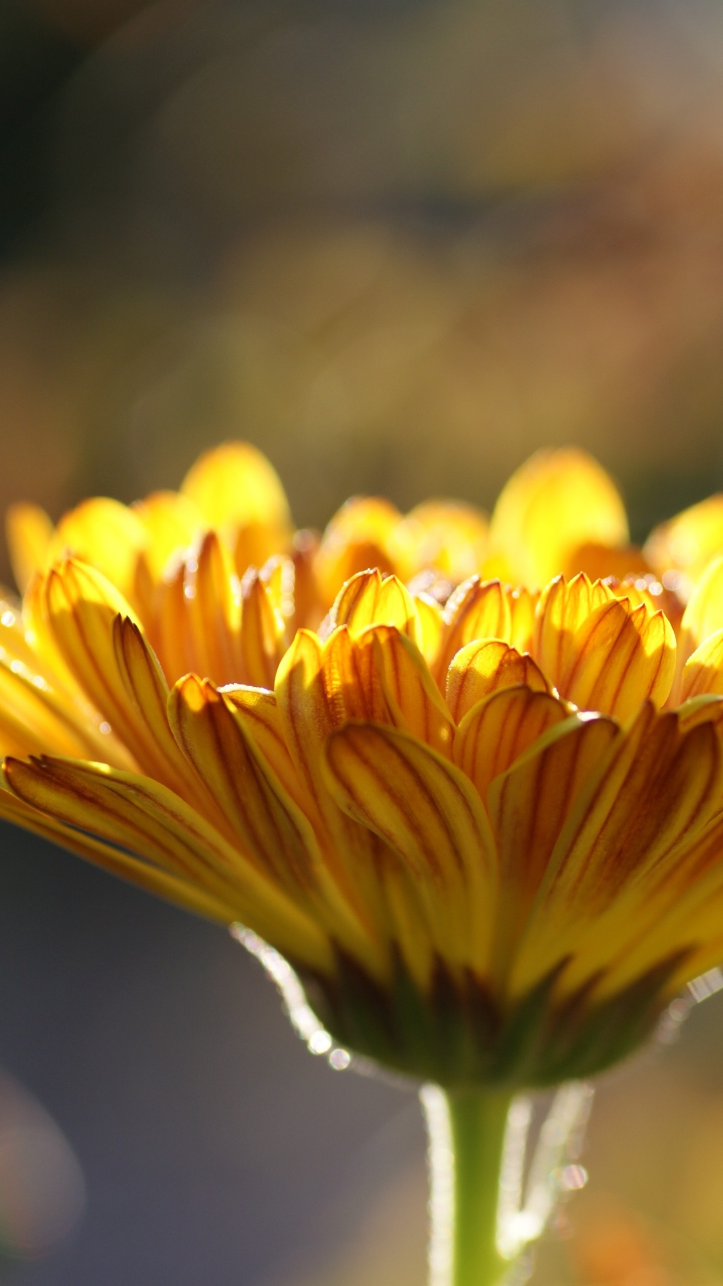 عکس زمینه گل زرد زیر نور آفتاب پس زمینه