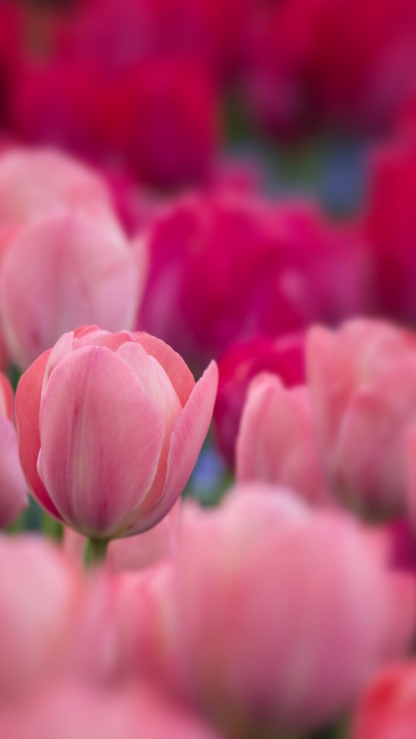 عکس زمینه باغ گل های لاله صورتی پس زمینه