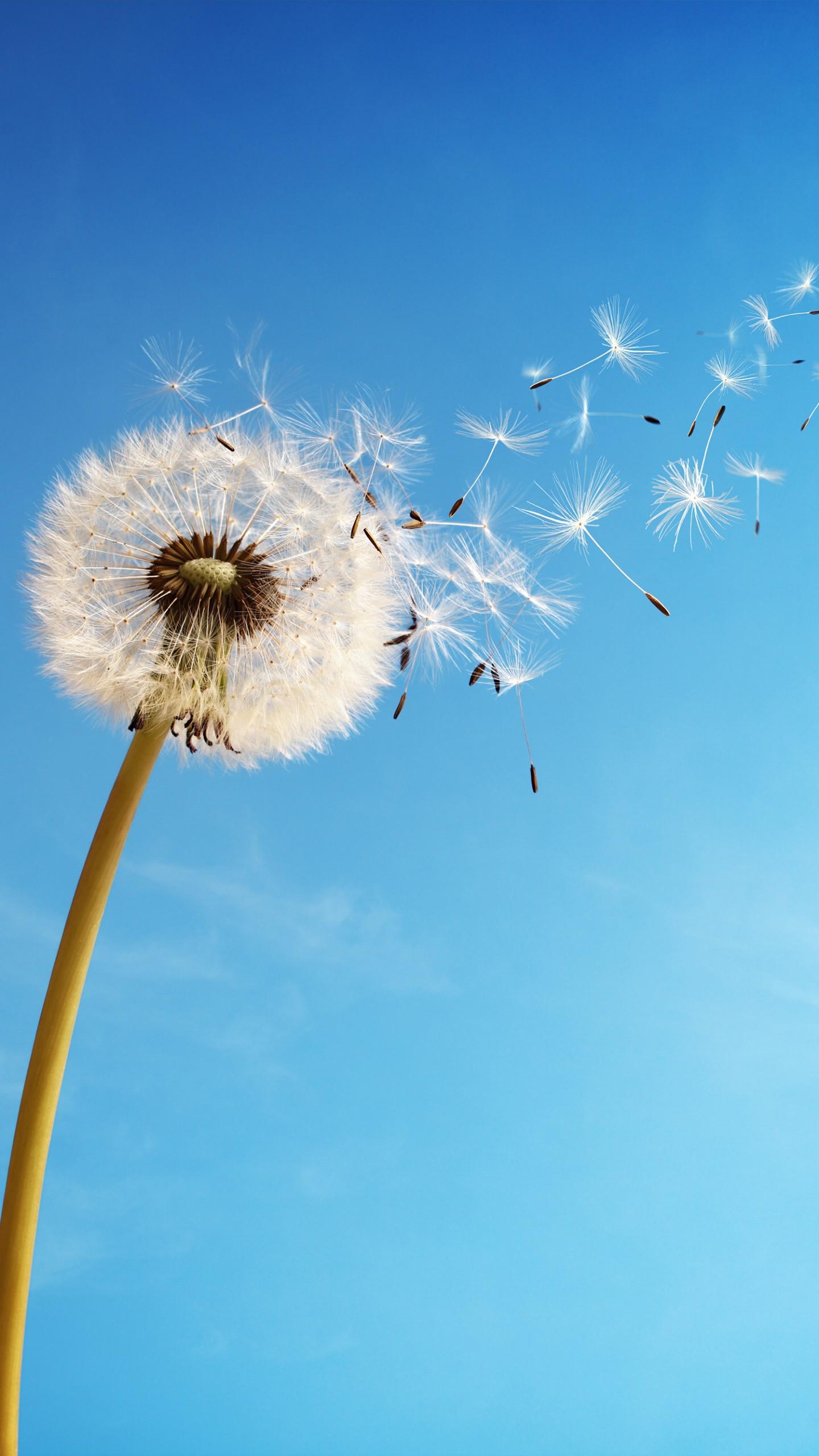 عکس زمینه گل قاصدک در آسمان های آبی پس زمینه