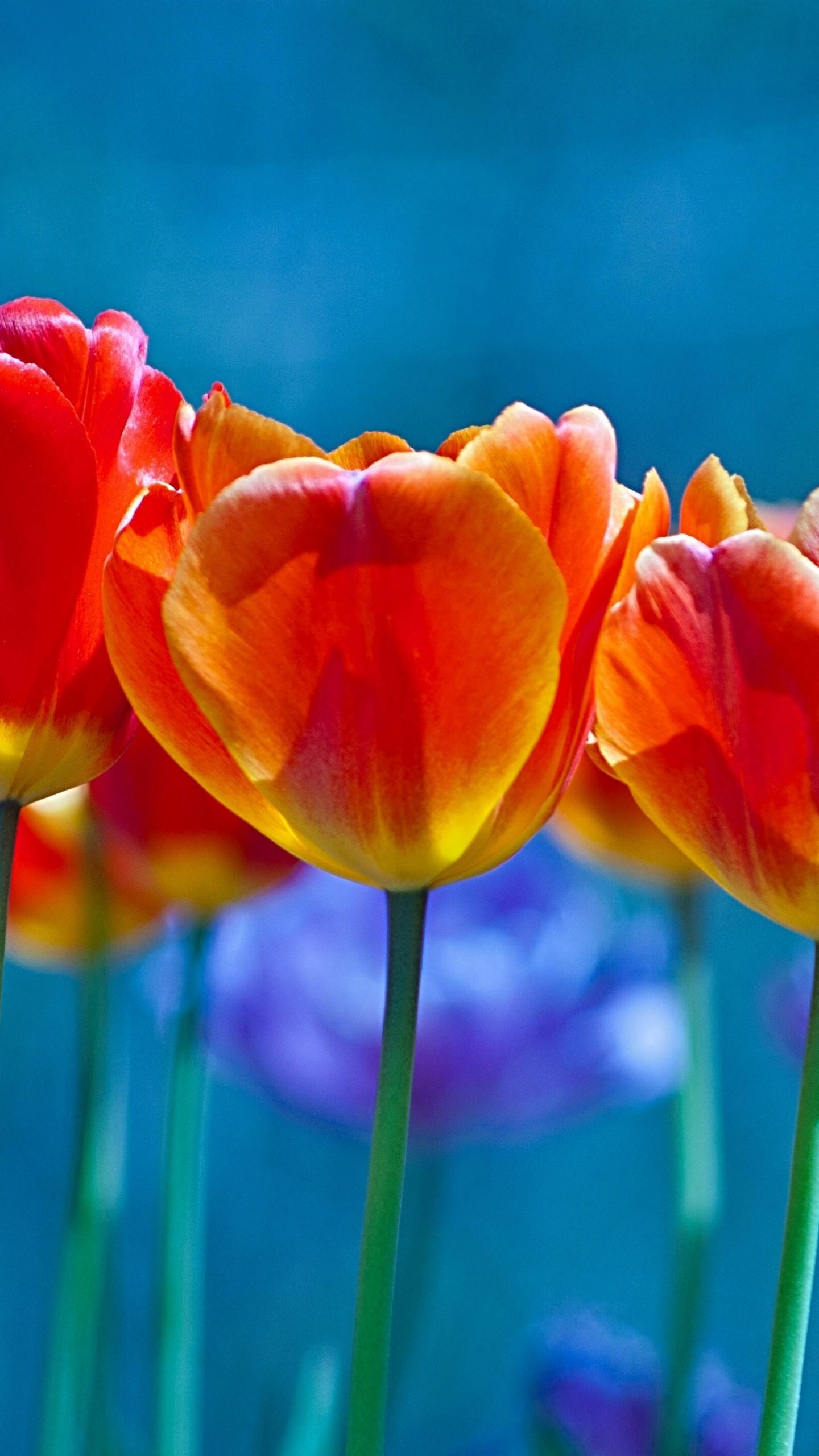 عکس زمینه گل های لاله نارنجی در زمینه آبی پس زمینه