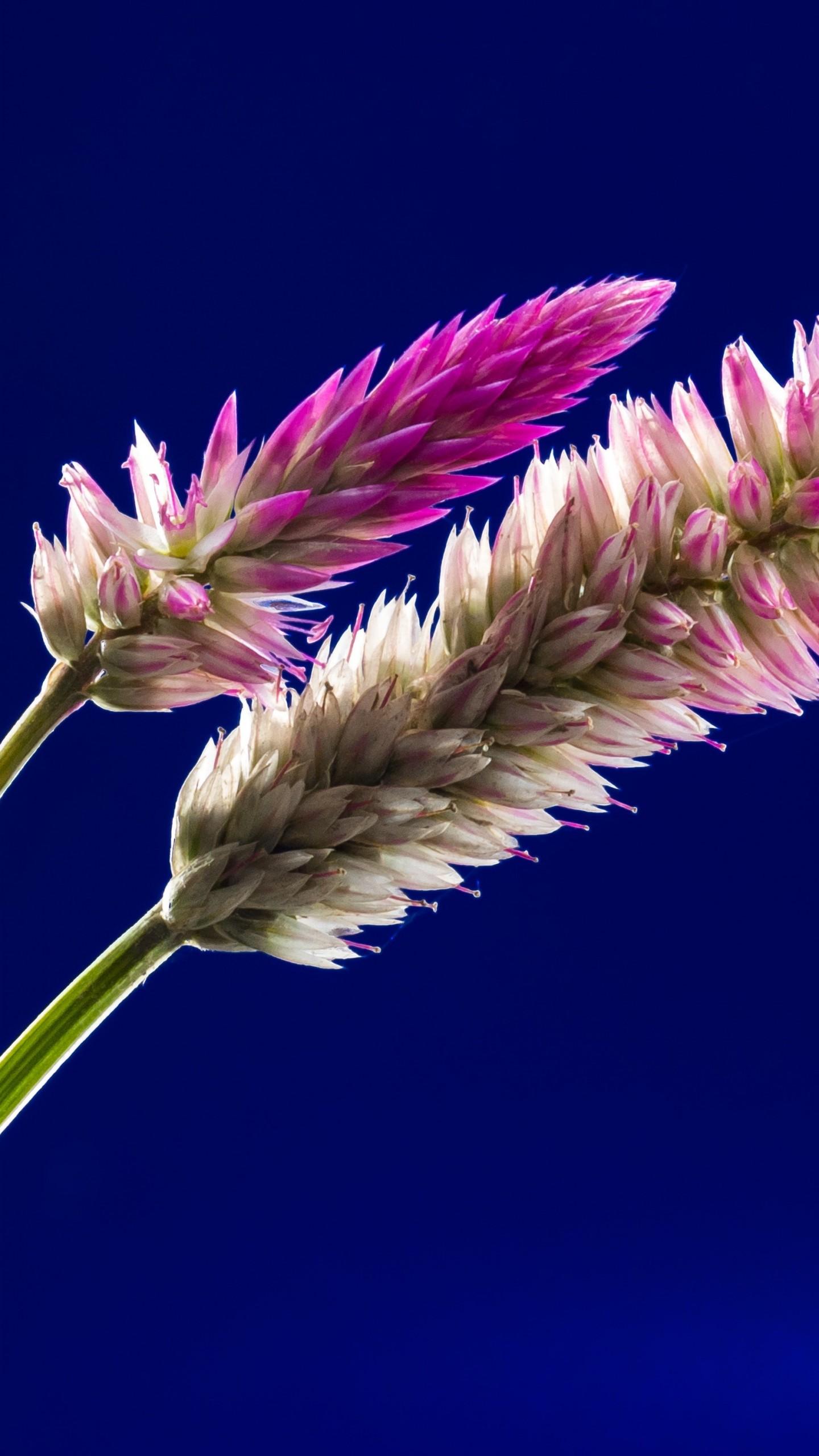 عکس زمینه گلهای صورتی با زمینه آبی سورمه ای پس زمینه