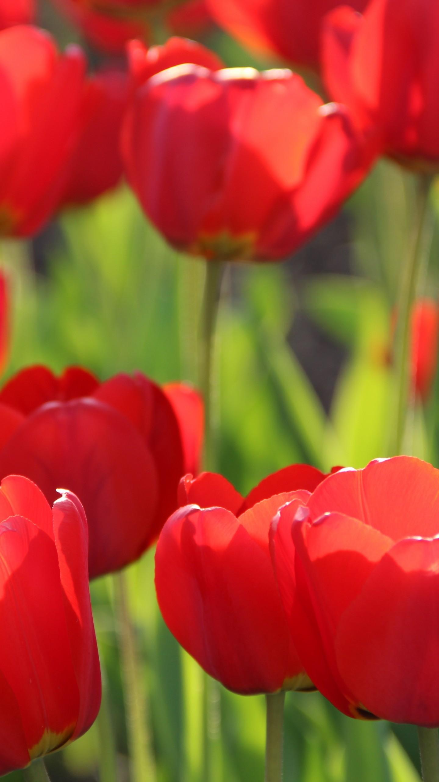عکس زمینه گل های لاله قرمز با شکوفه های زیبا پس زمینه