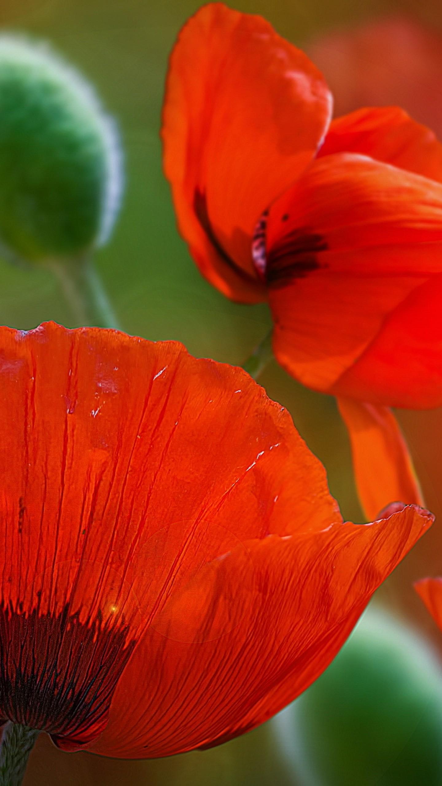 عکس زمینه گلهای شقایق قرمز پس زمینه